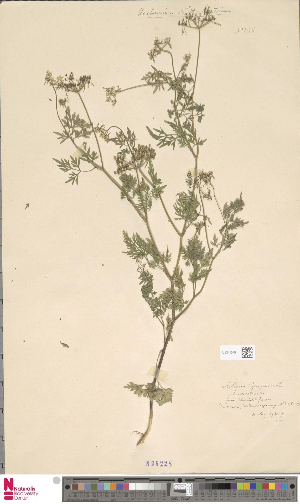 L.3341579 | Aethusa cynapium L.