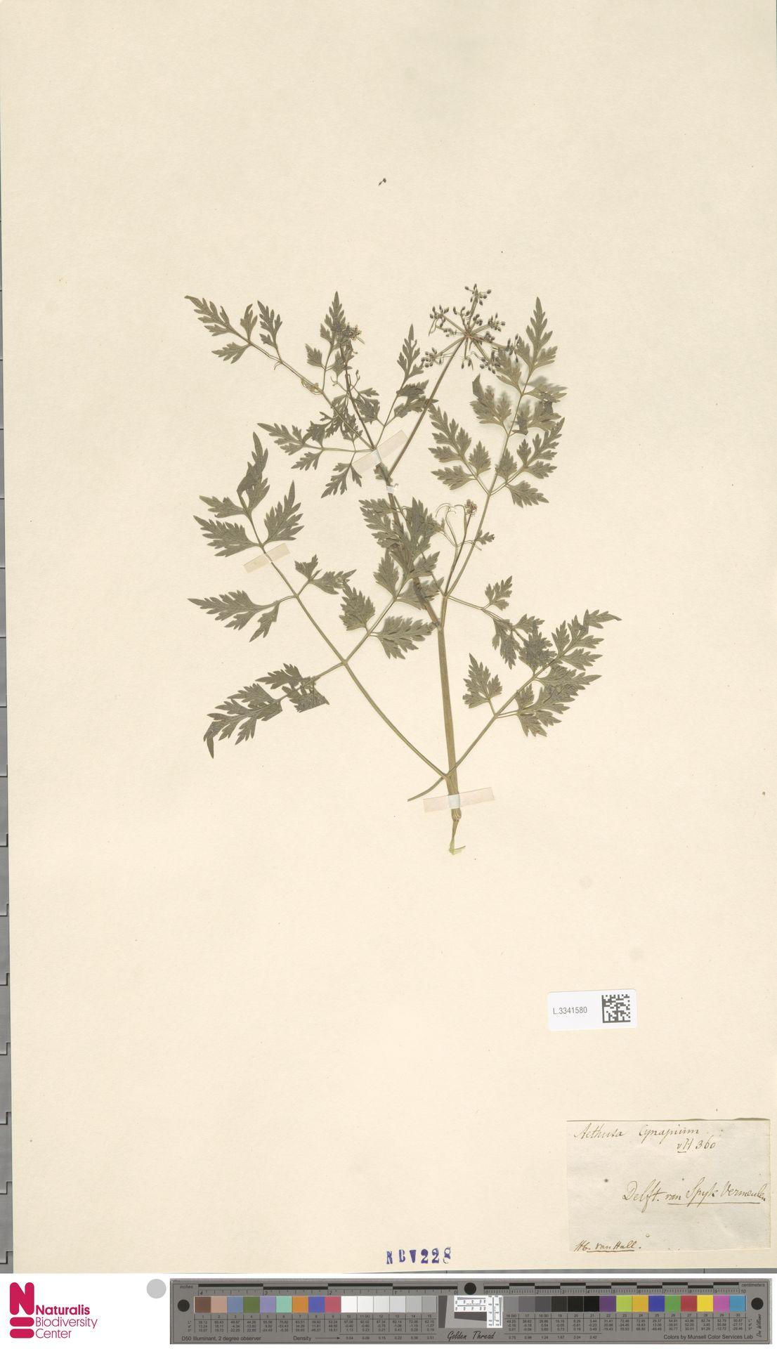 L.3341580 | Aethusa cynapium L.