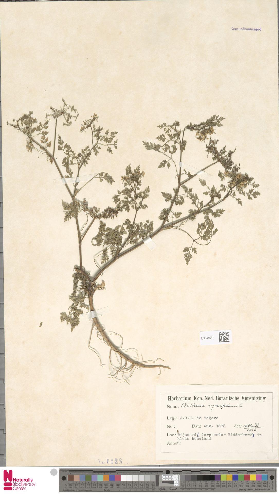 L.3341581 | Aethusa cynapium L.