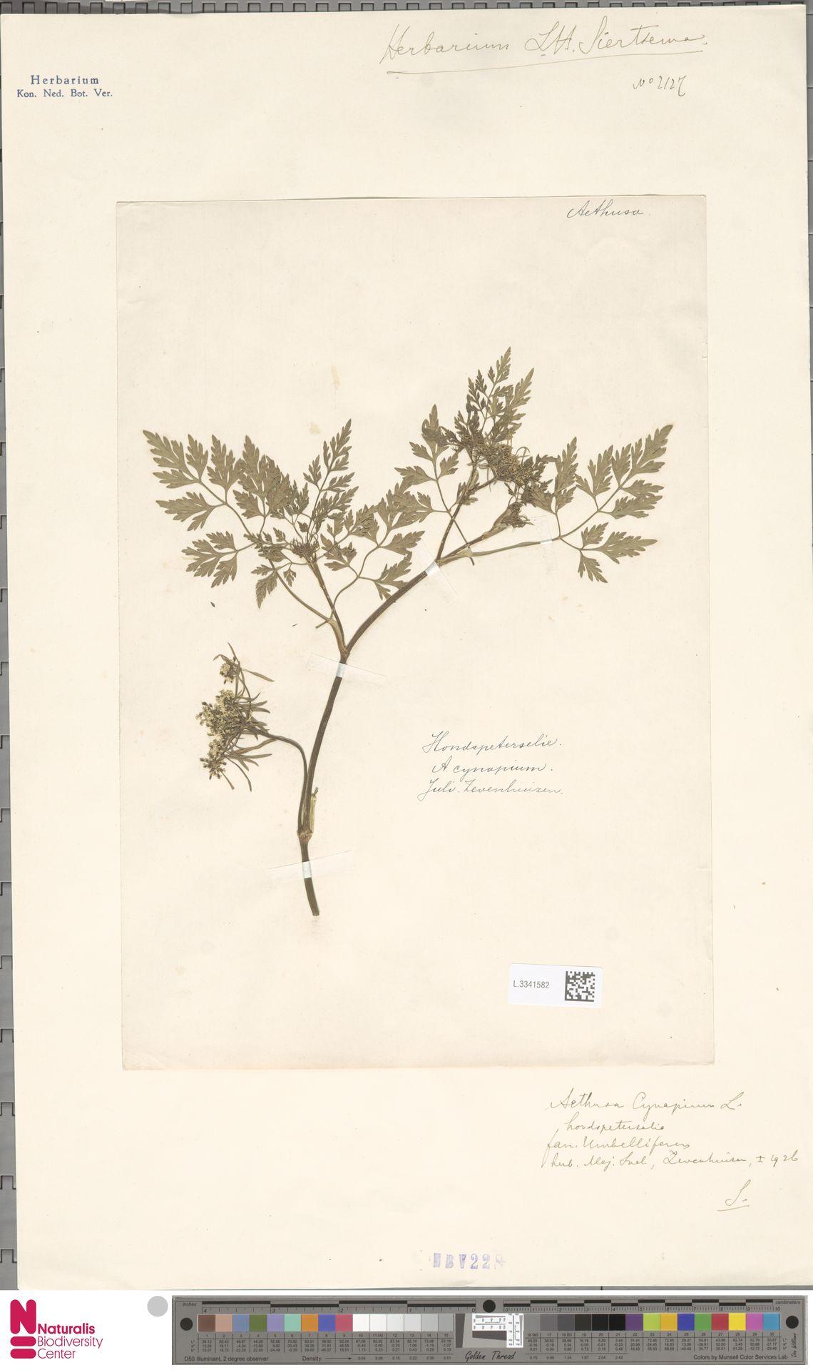 L.3341582 | Aethusa cynapium L.