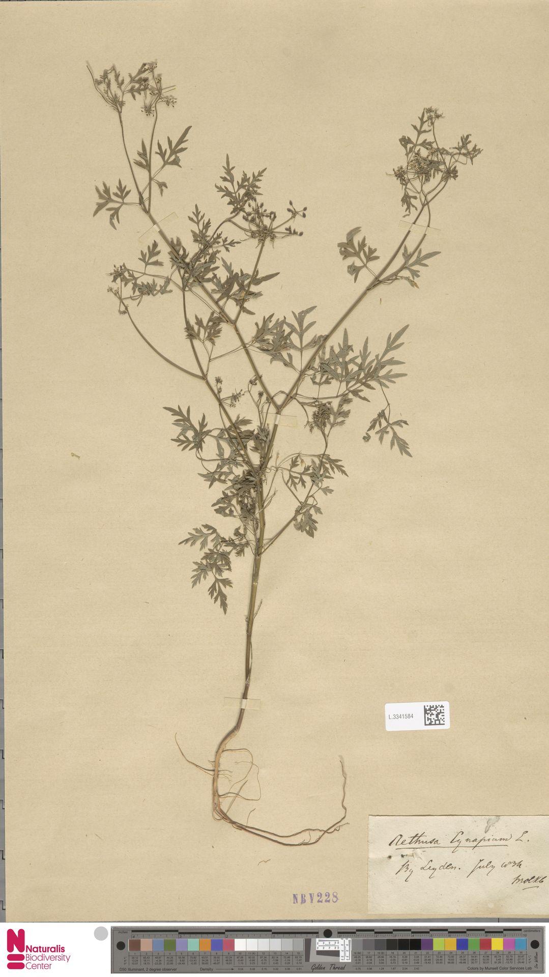 L.3341584 | Aethusa cynapium L.