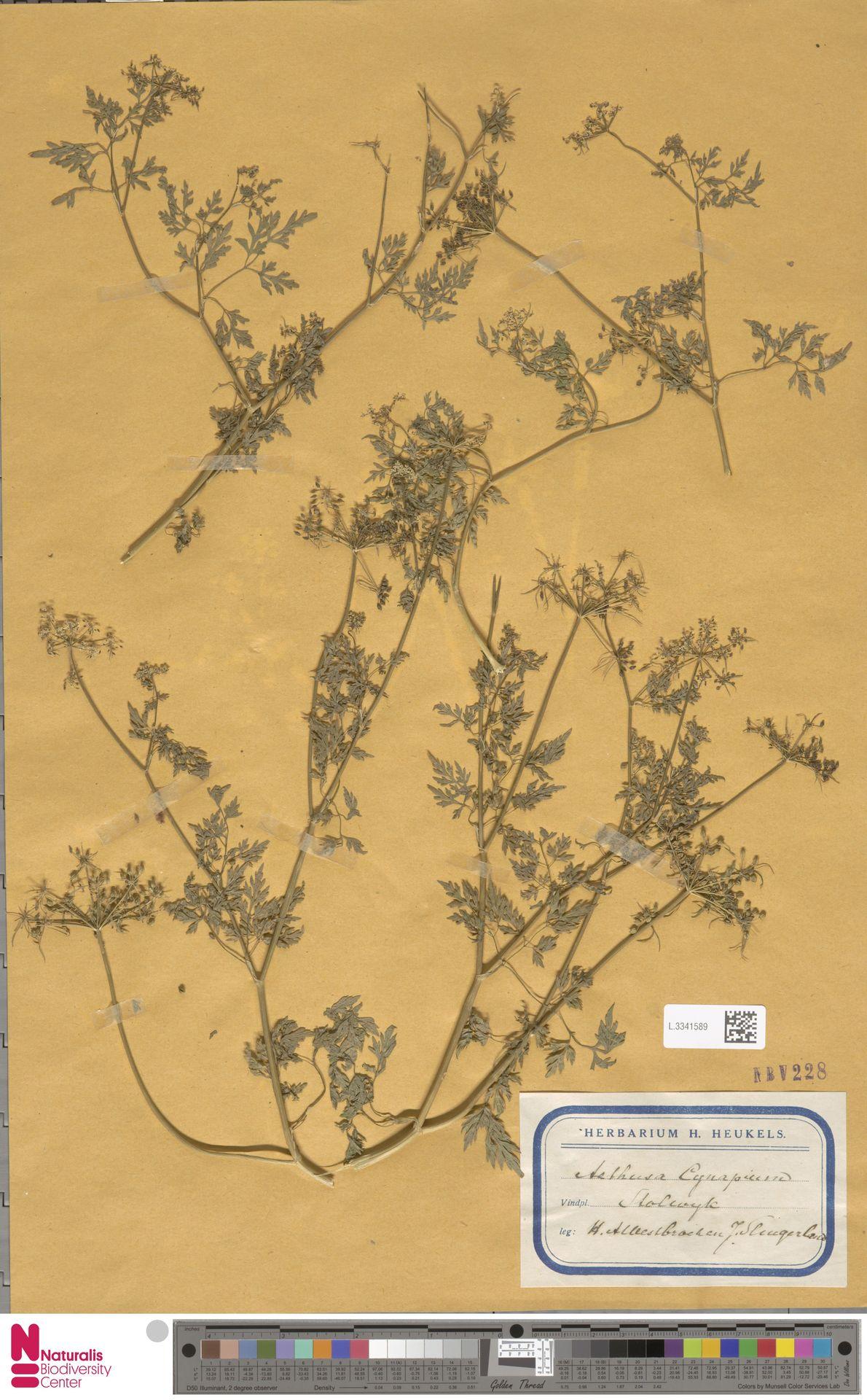 L.3341589 | Aethusa cynapium L.