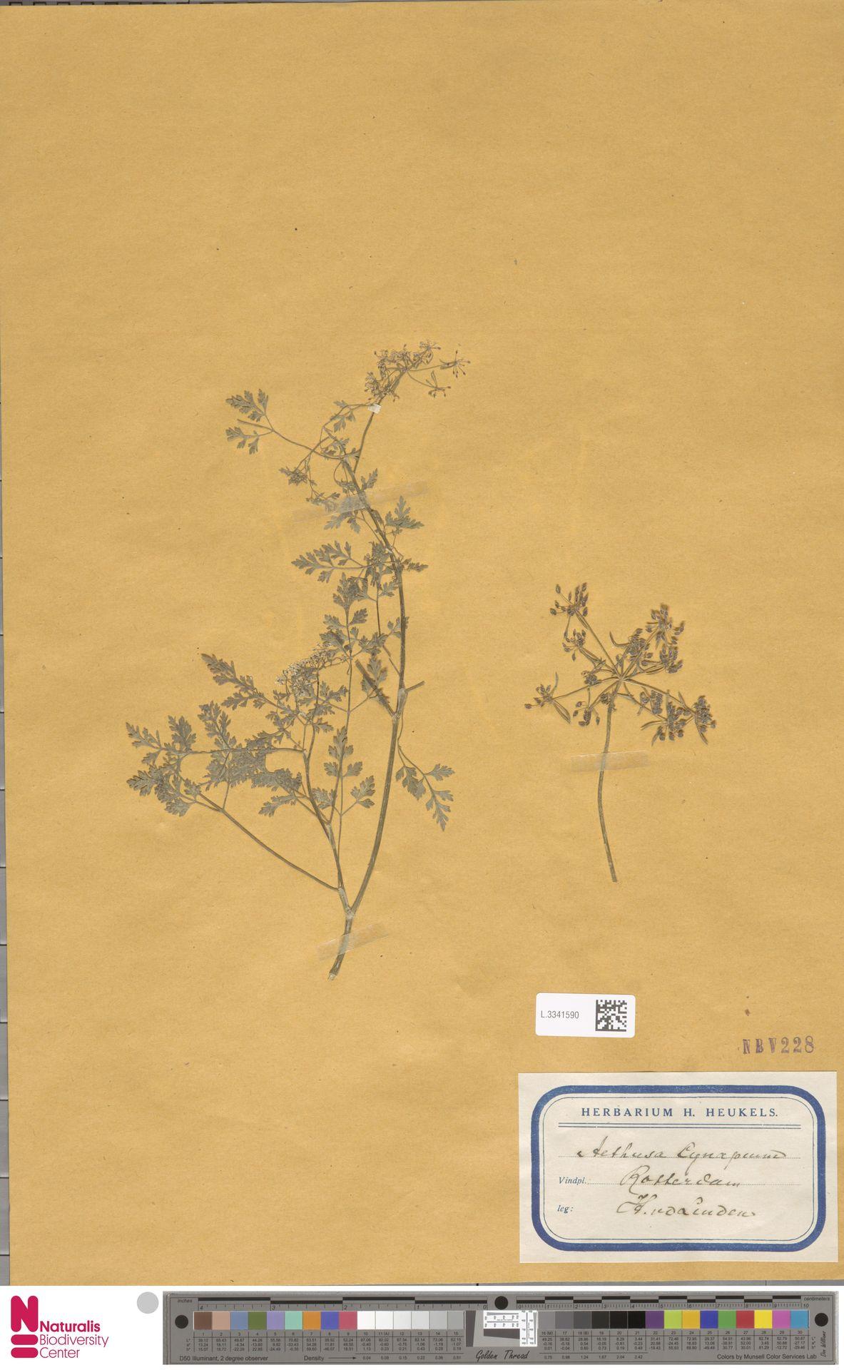 L.3341590 | Aethusa cynapium L.