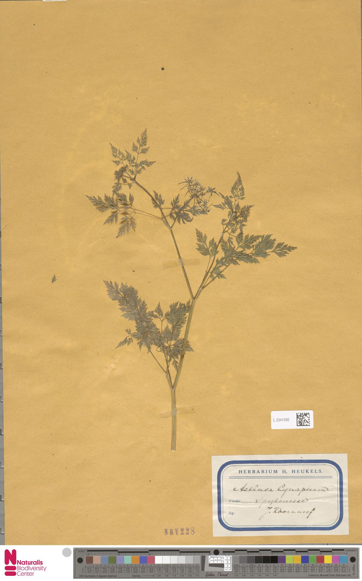 L.3341592   Aethusa cynapium L.