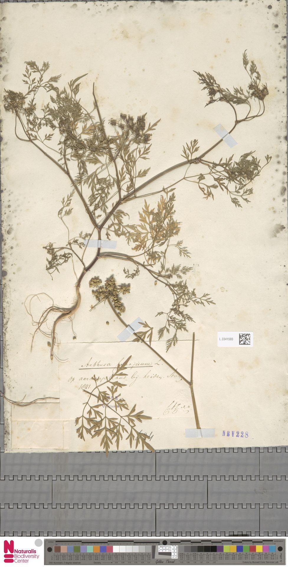 L.3341593   Aethusa cynapium L.