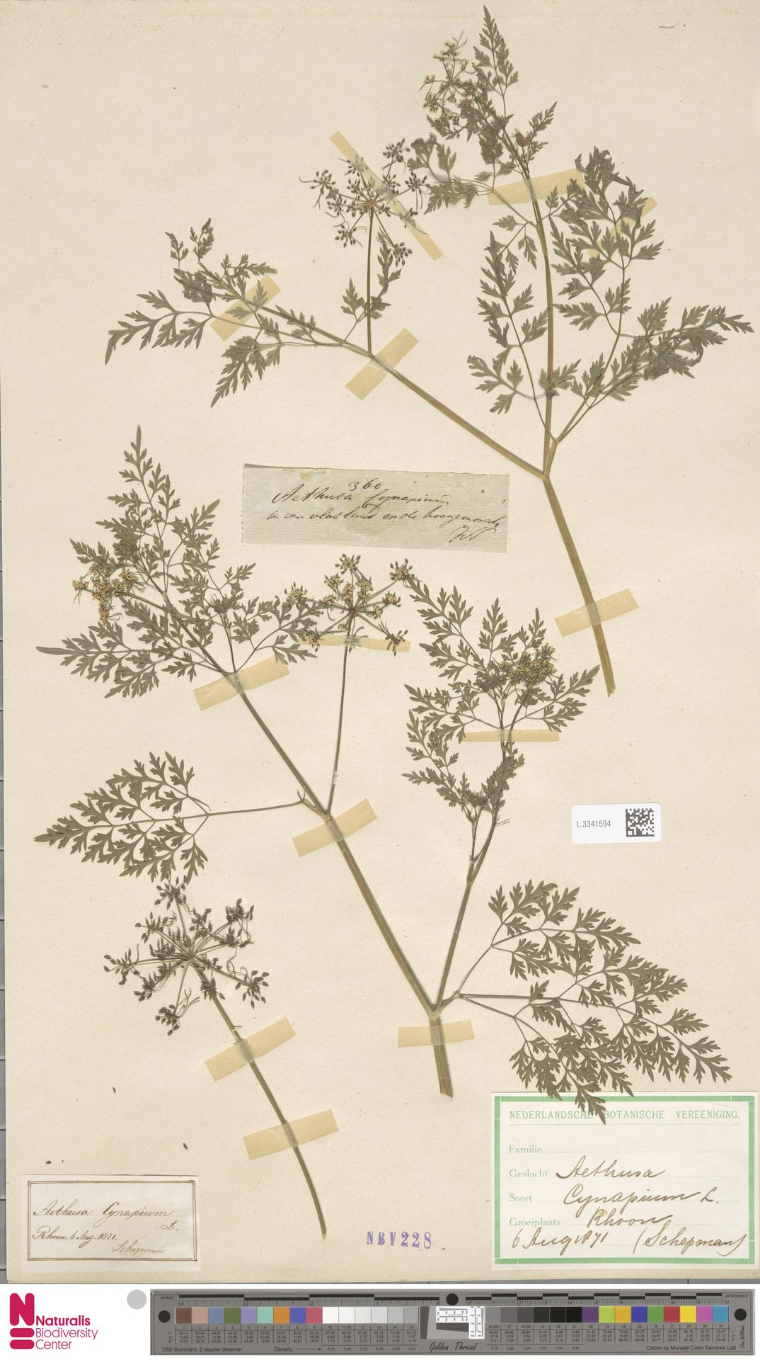 L.3341594 | Aethusa cynapium L.