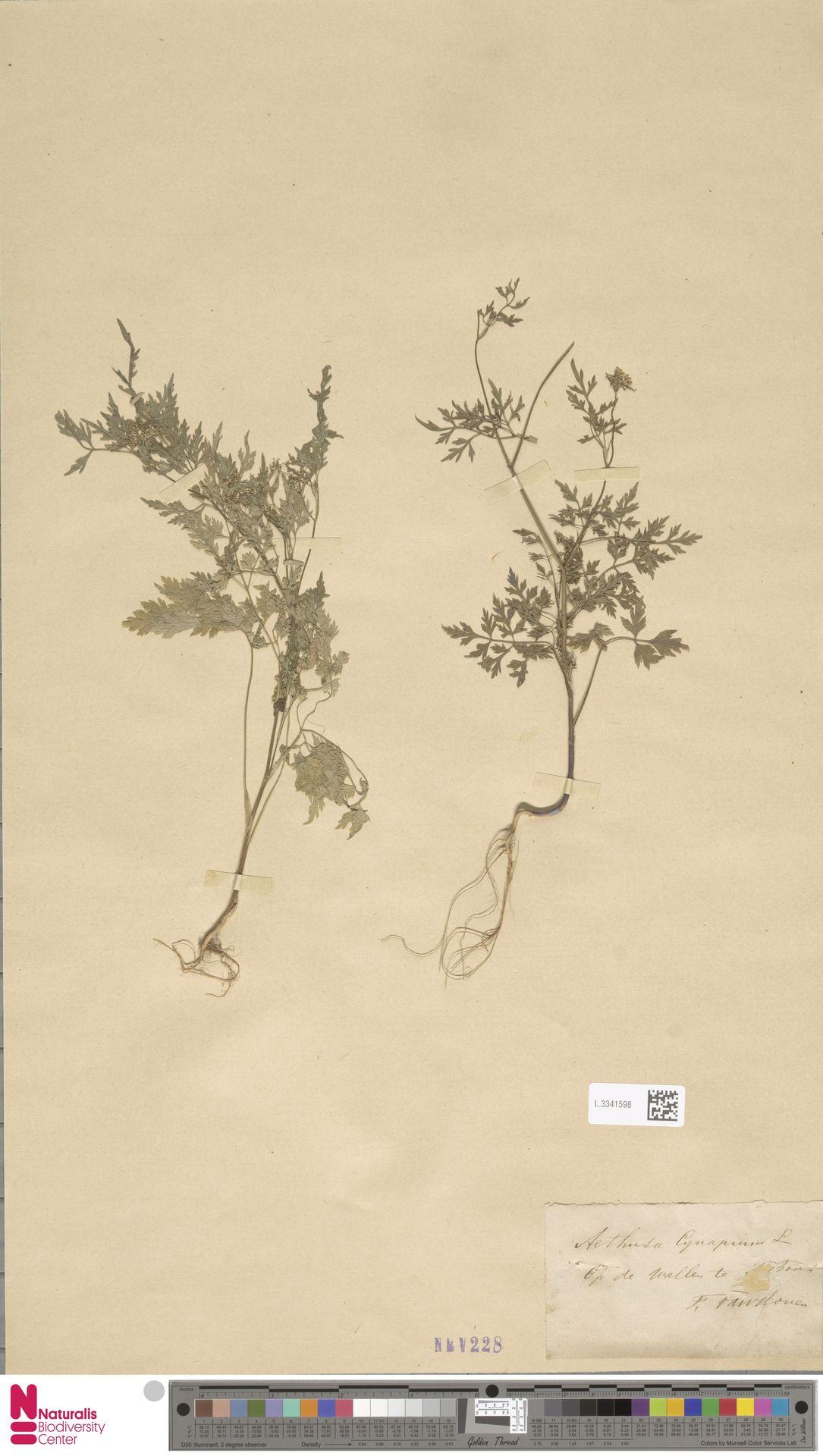 L.3341598 | Aethusa cynapium L.