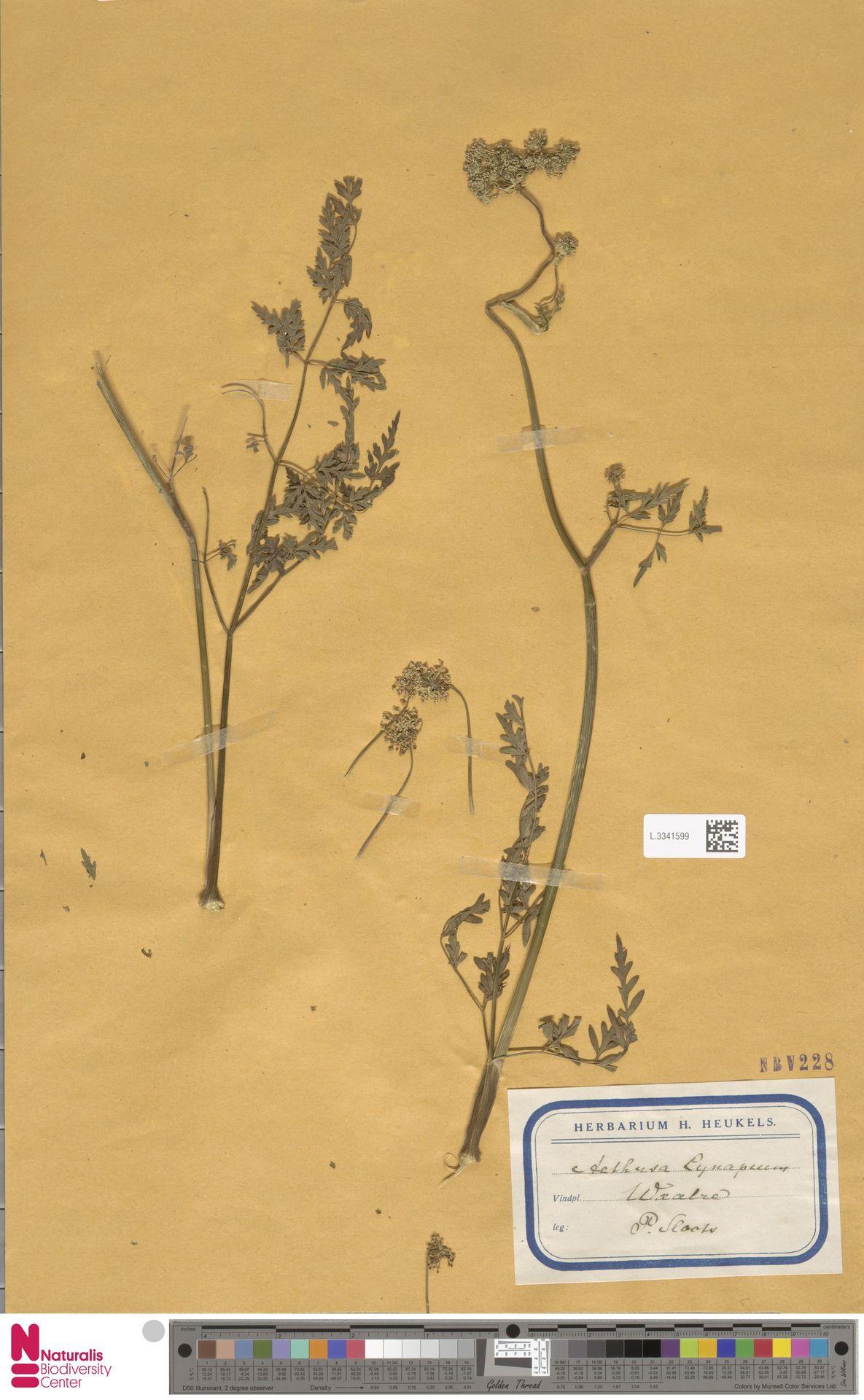 L.3341599 | Aethusa cynapium L.