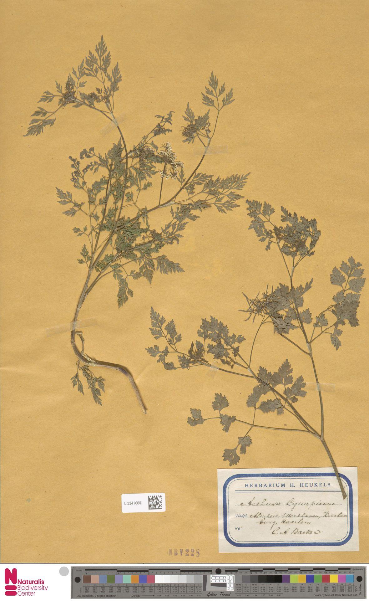 L.3341600 | Aethusa cynapium L.