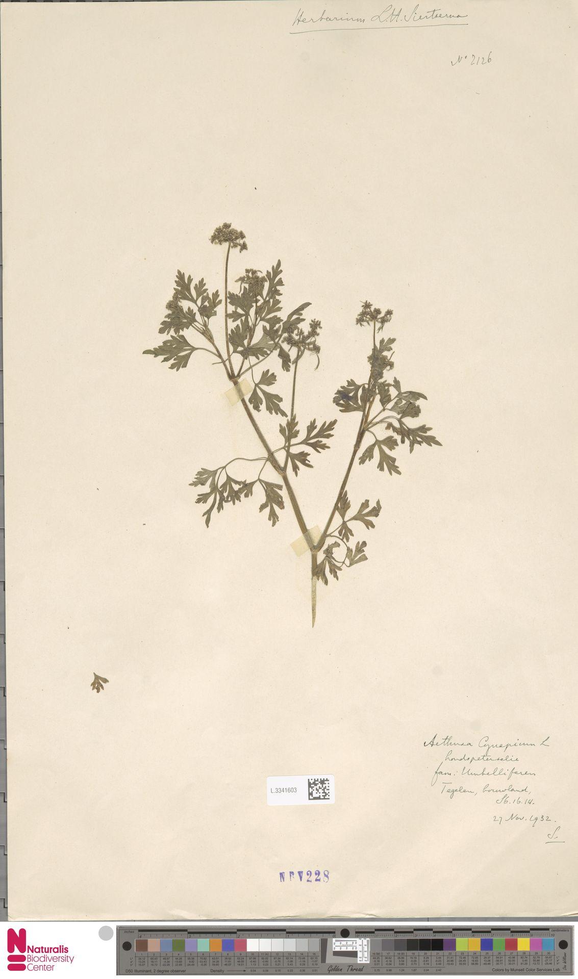 L.3341603 | Aethusa cynapium L.