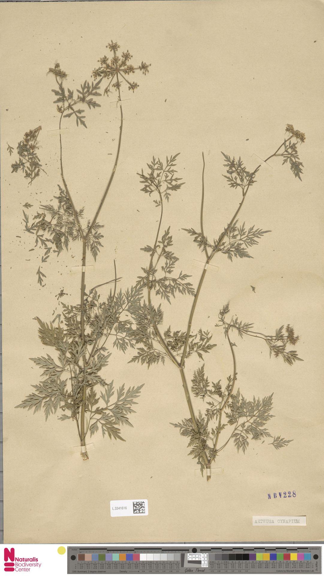 L.3341616 | Aethusa cynapium L.