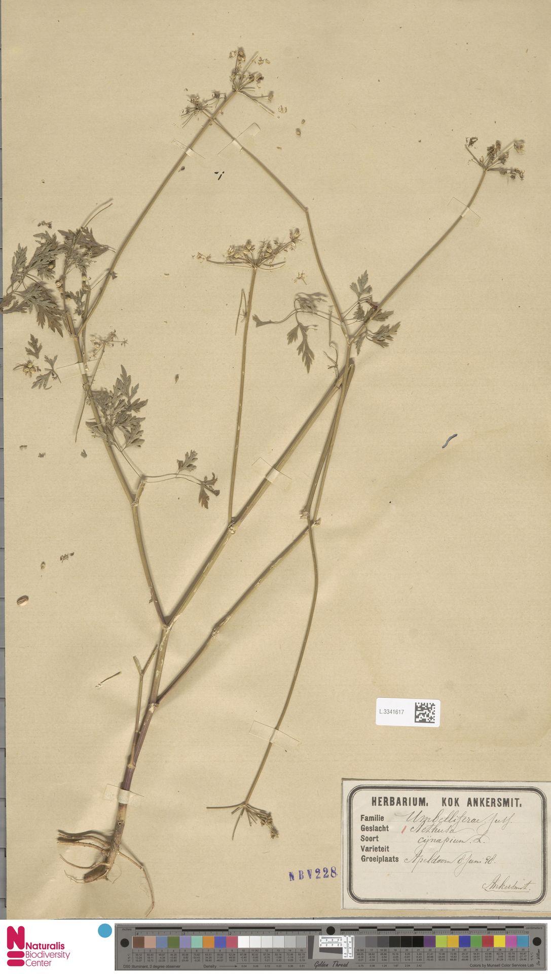 L.3341617 | Aethusa cynapium L.