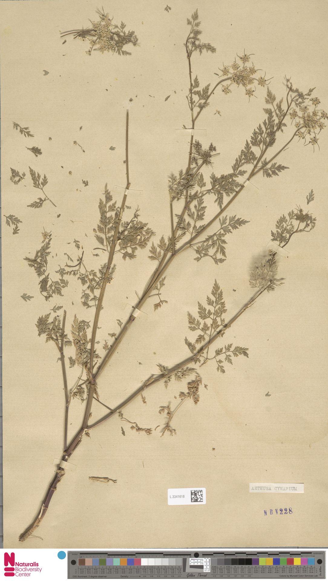 L.3341618 | Aethusa cynapium L.