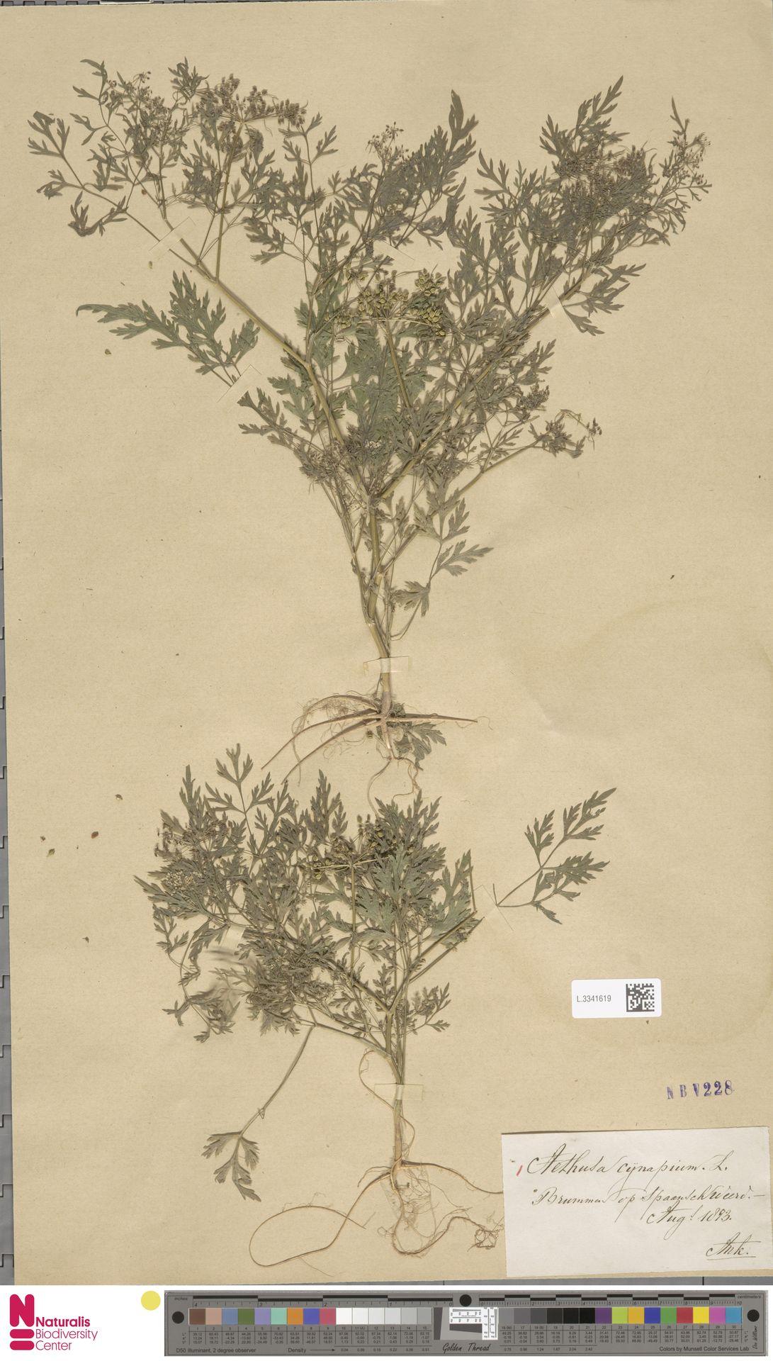 L.3341619   Aethusa cynapium L.