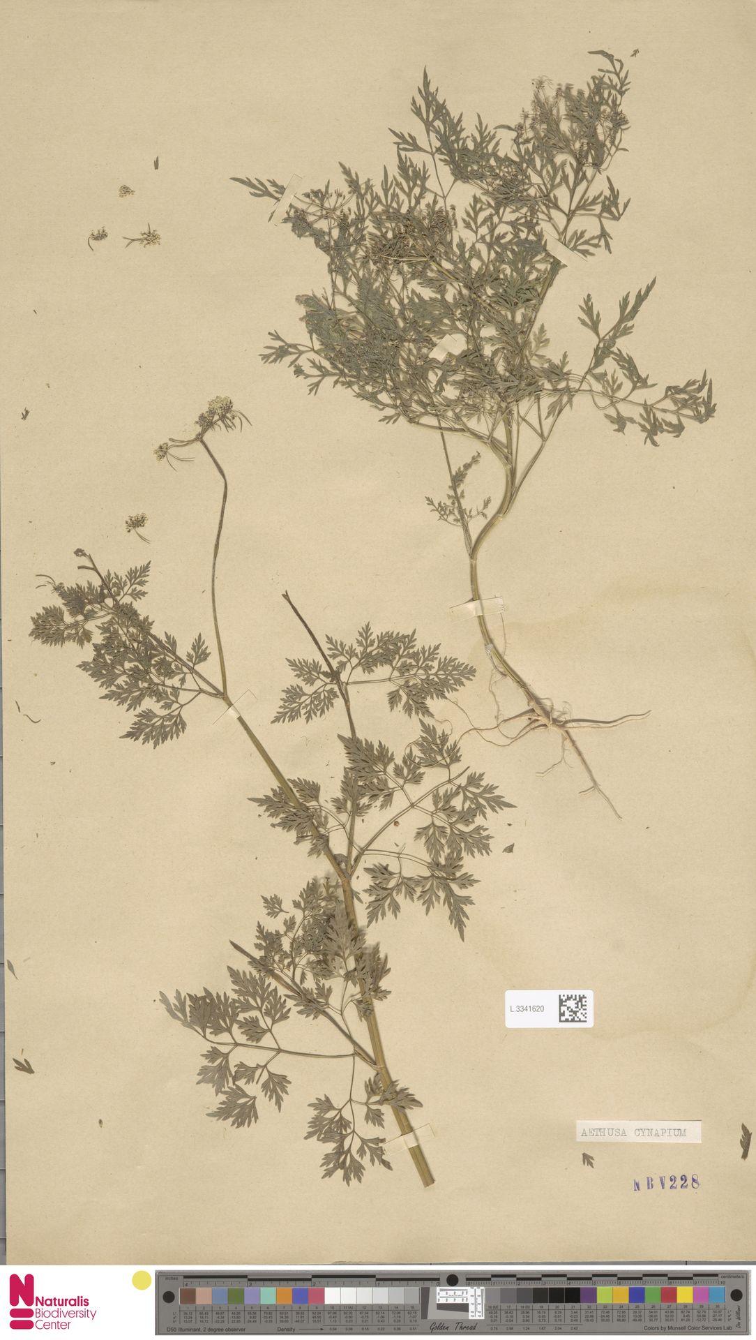 L.3341620 | Aethusa cynapium L.