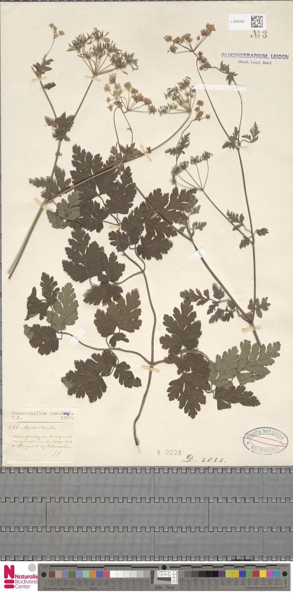 L.3342461 | Chaerophyllum temulum L.