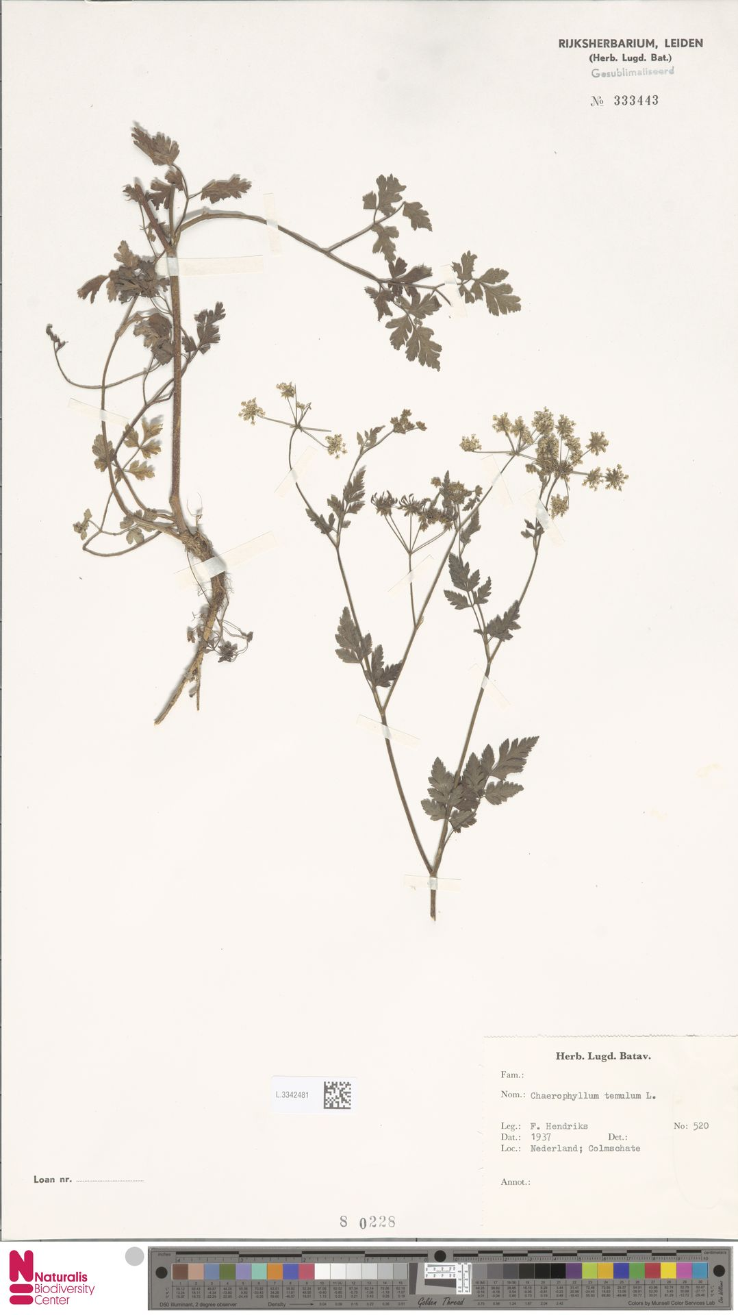 L.3342481 | Chaerophyllum temulum L.