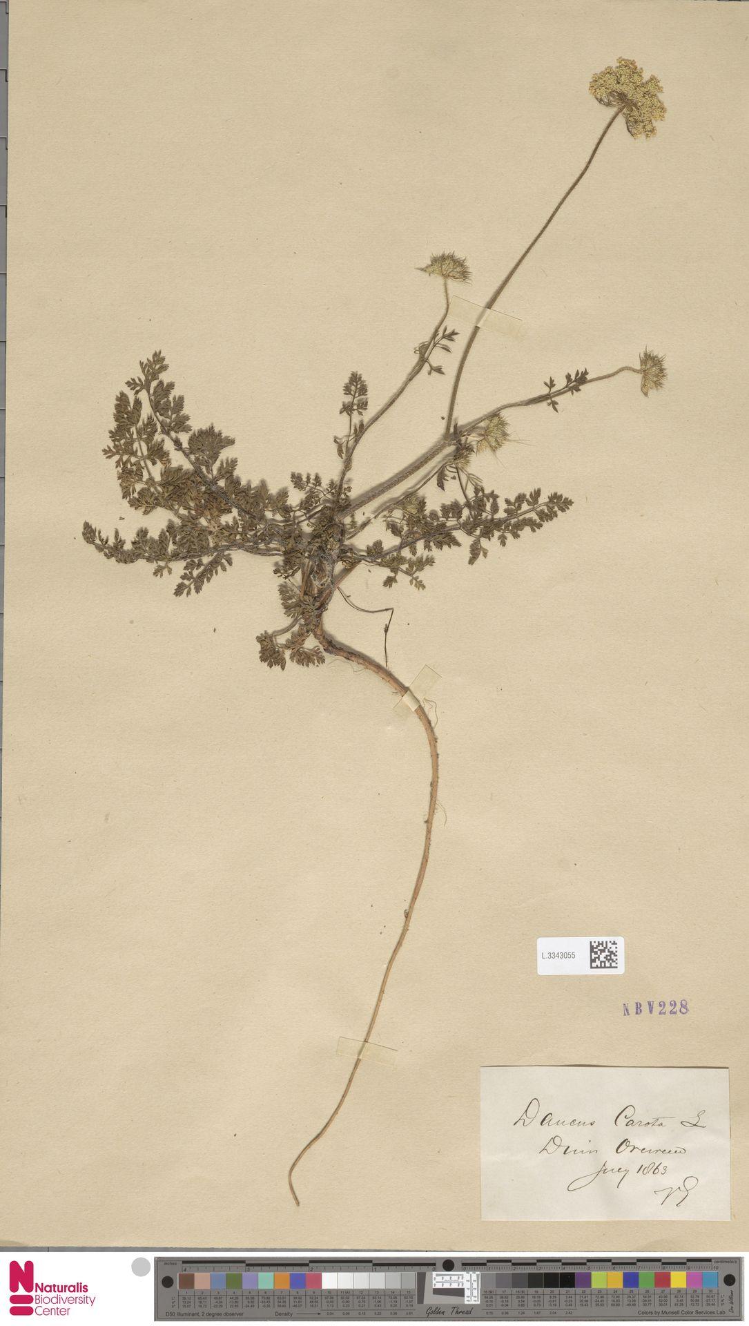 L.3343055 | Daucus carota L.