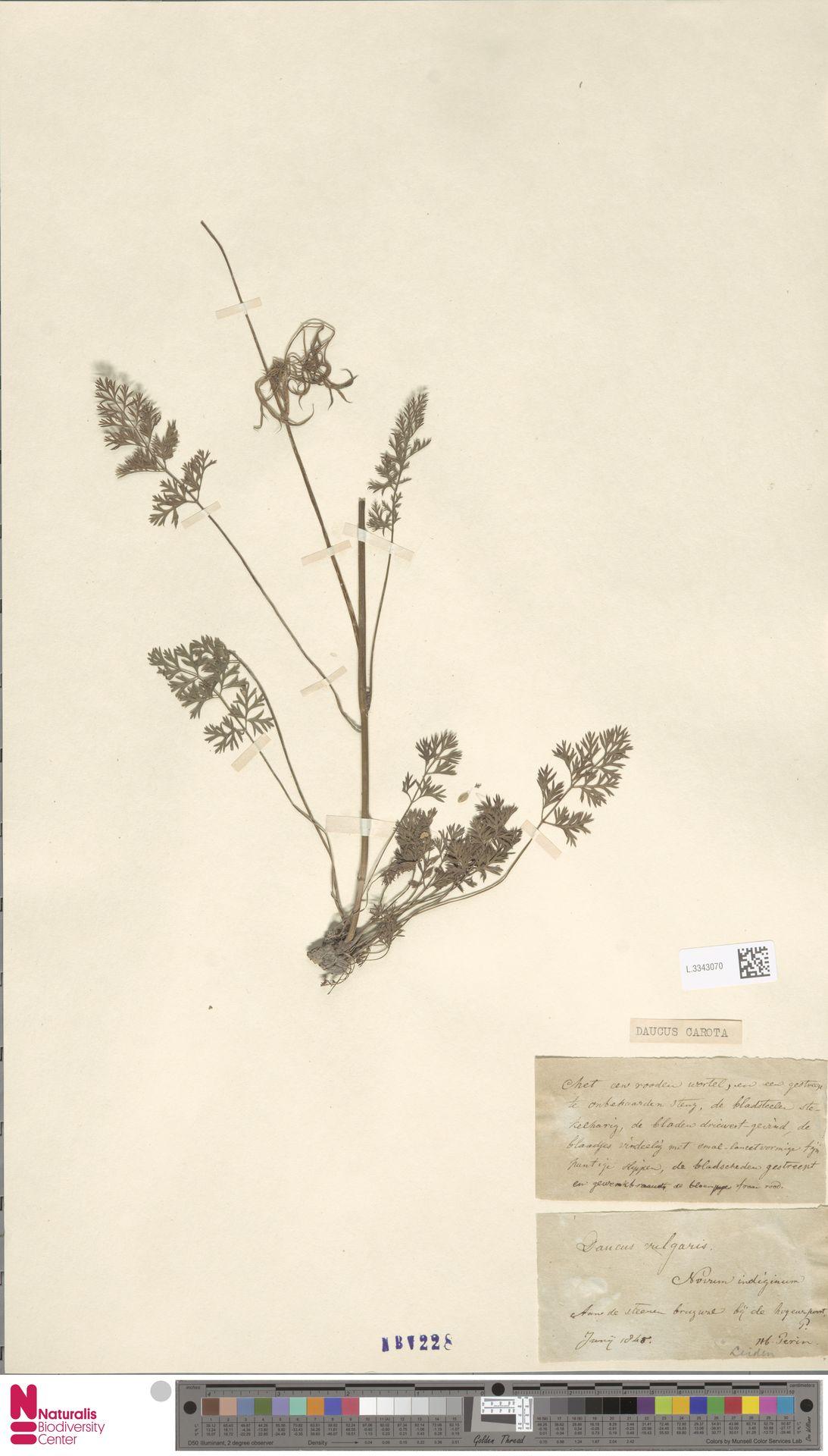 L.3343070 | Daucus carota L.
