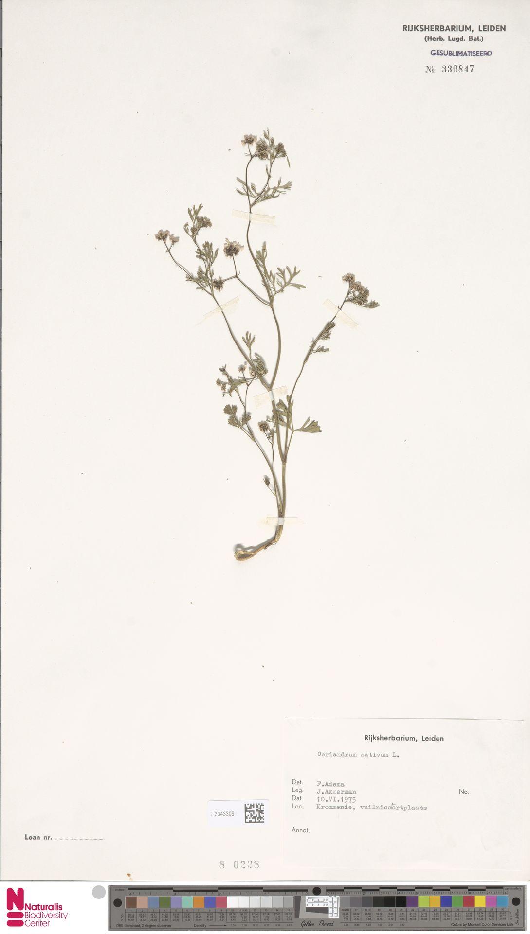 L.3343309 | Coriandrum sativum L.