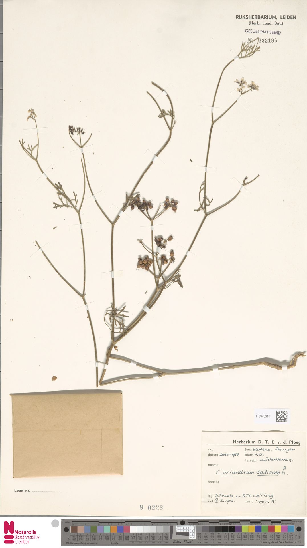 L.3343311 | Coriandrum sativum L.