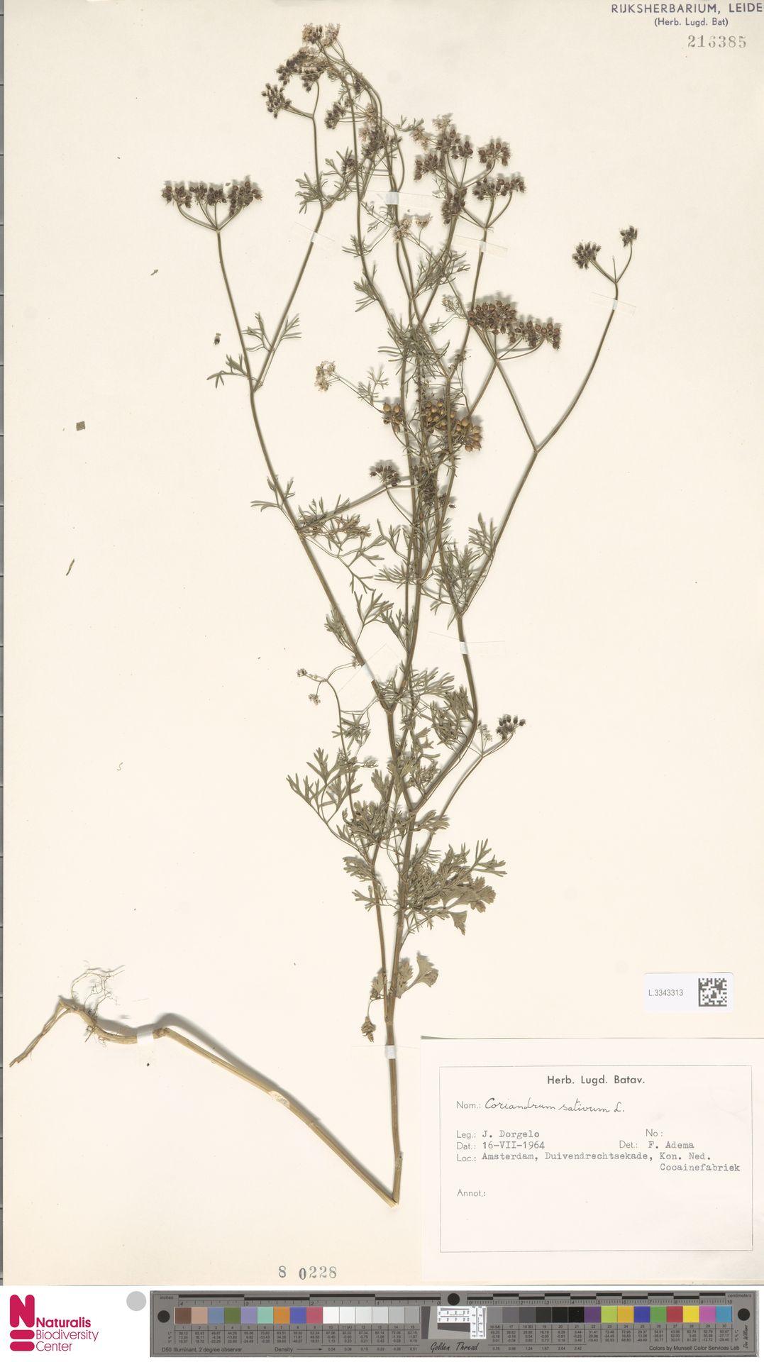 L.3343313 | Coriandrum sativum L.
