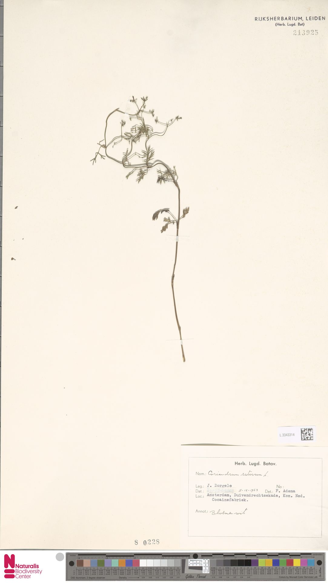 L.3343314   Coriandrum sativum L.