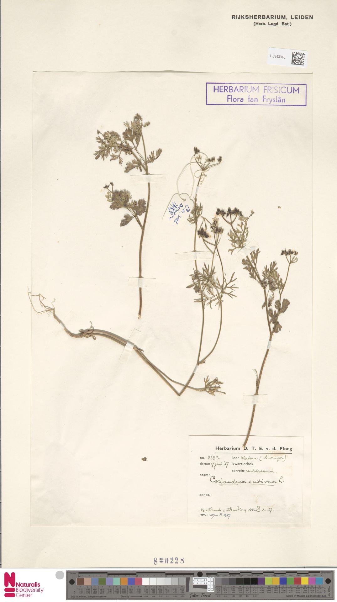 L.3343316 | Coriandrum sativum L.