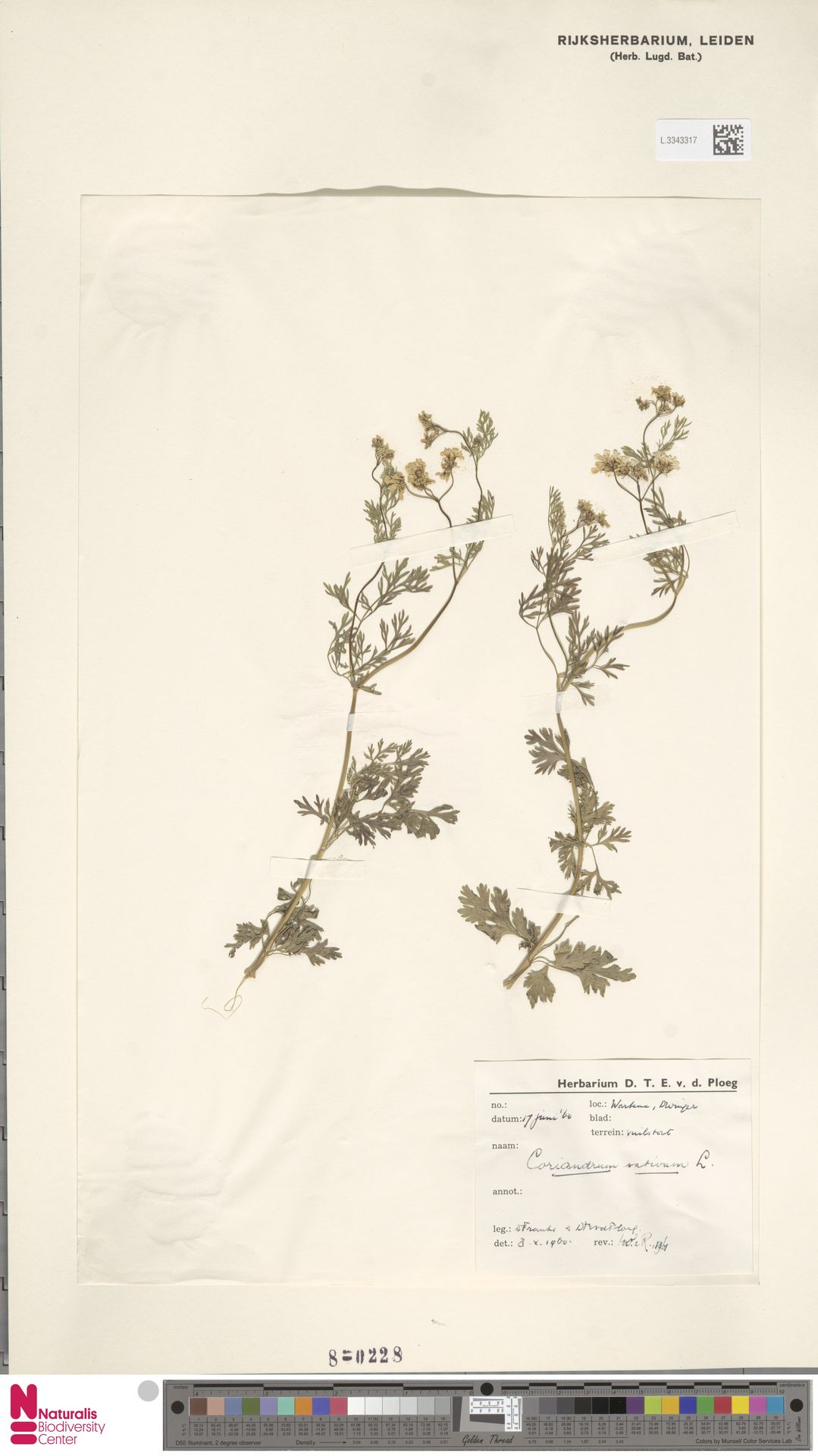 L.3343317 | Coriandrum sativum L.