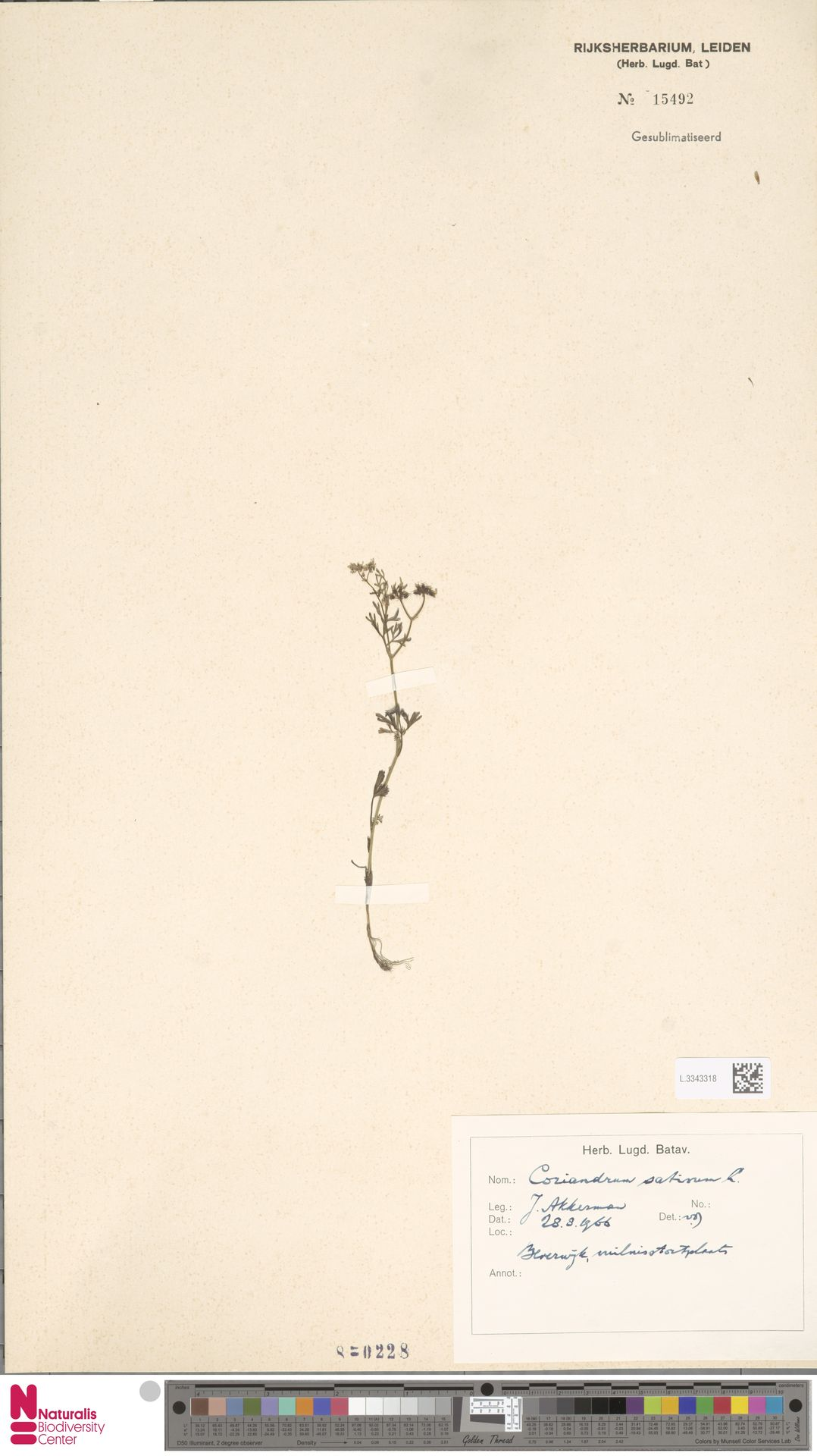 L.3343318 | Coriandrum sativum L.