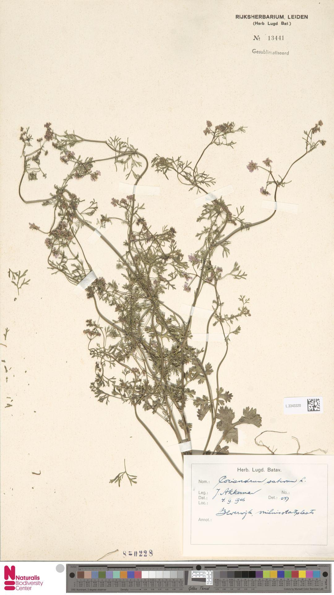 L.3343320 | Coriandrum sativum L.