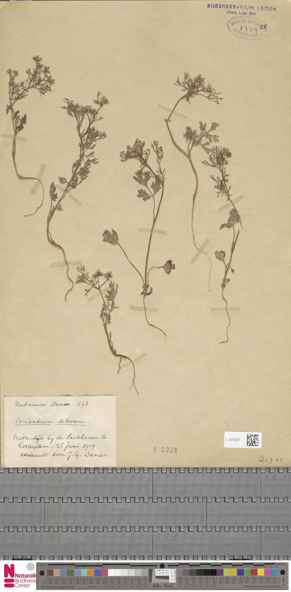 L.3343321 | Coriandrum sativum L.