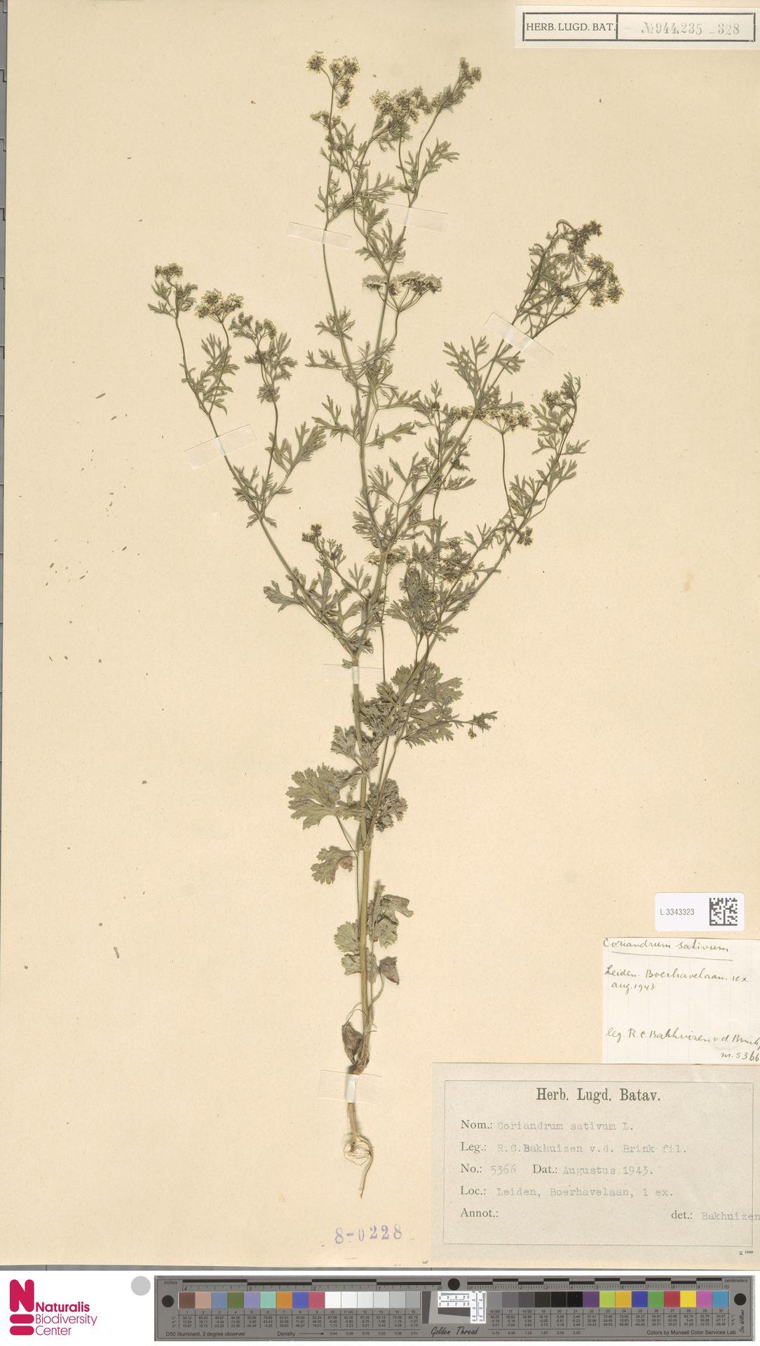 L.3343323 | Coriandrum sativum L.