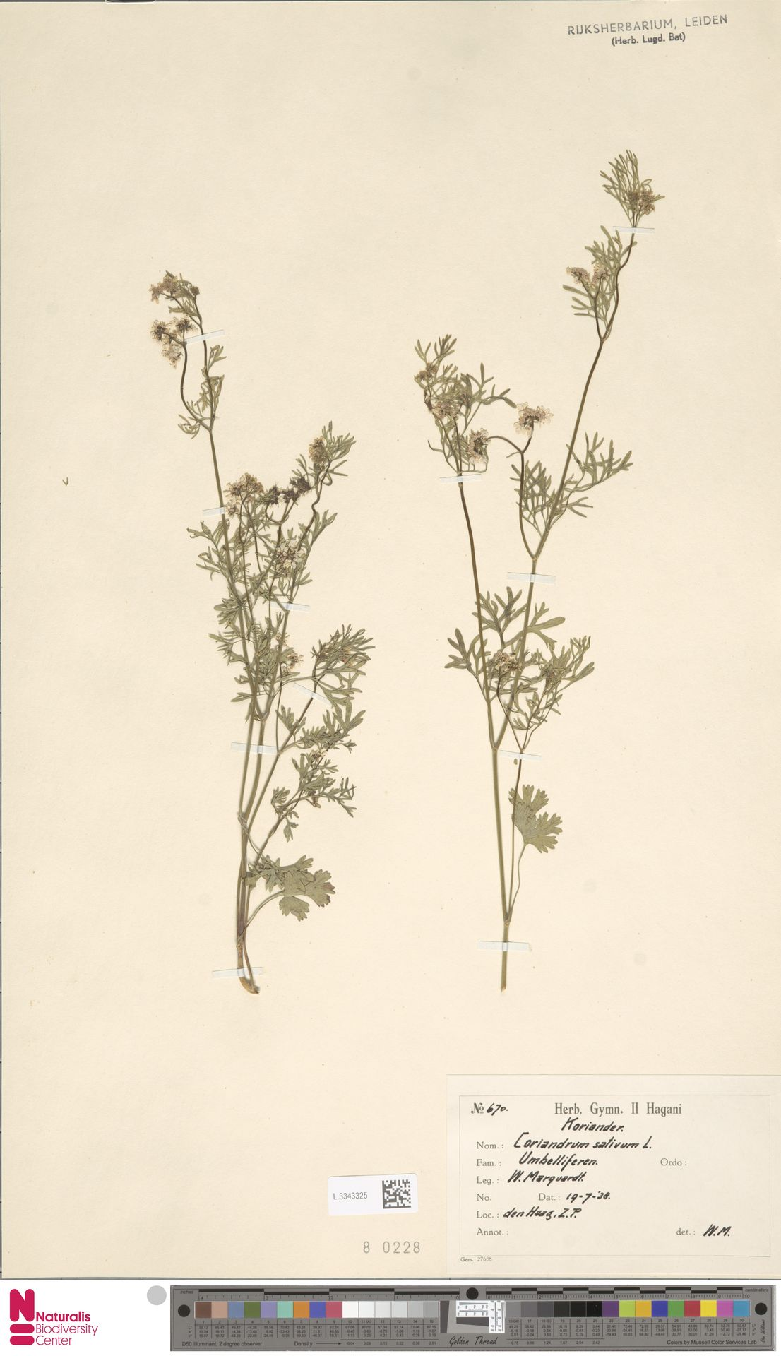 L.3343325 | Coriandrum sativum L.
