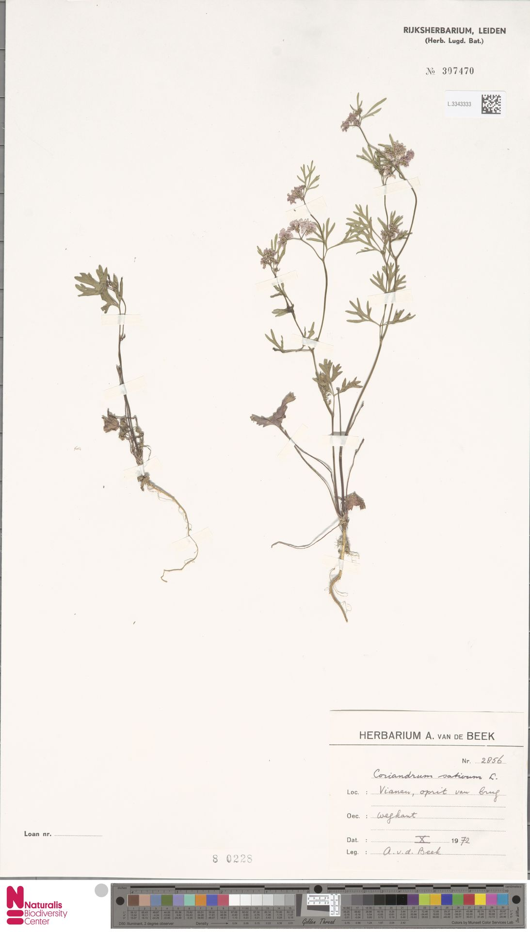 L.3343333 | Coriandrum sativum L.