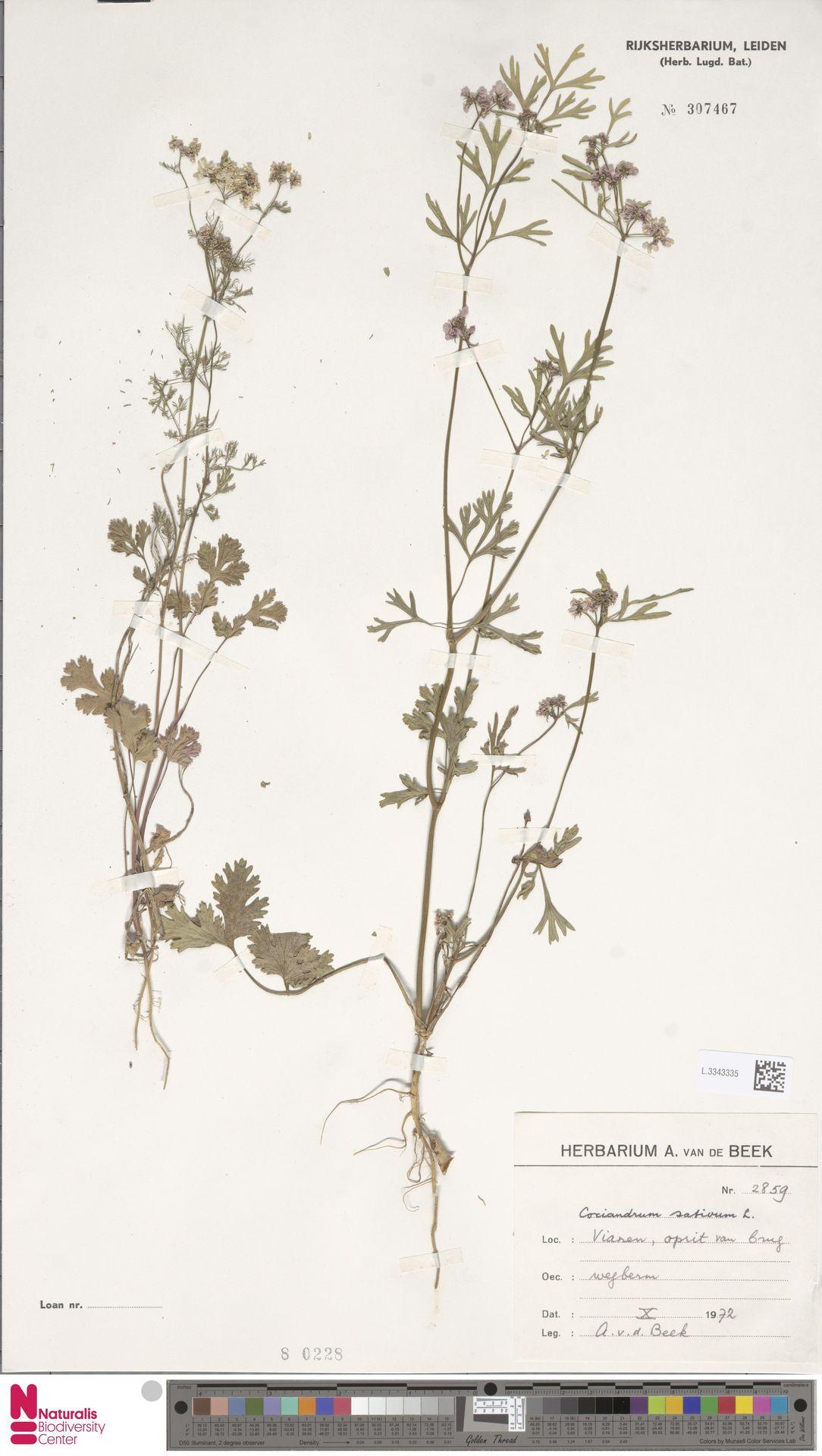 L.3343335 | Coriandrum sativum L.