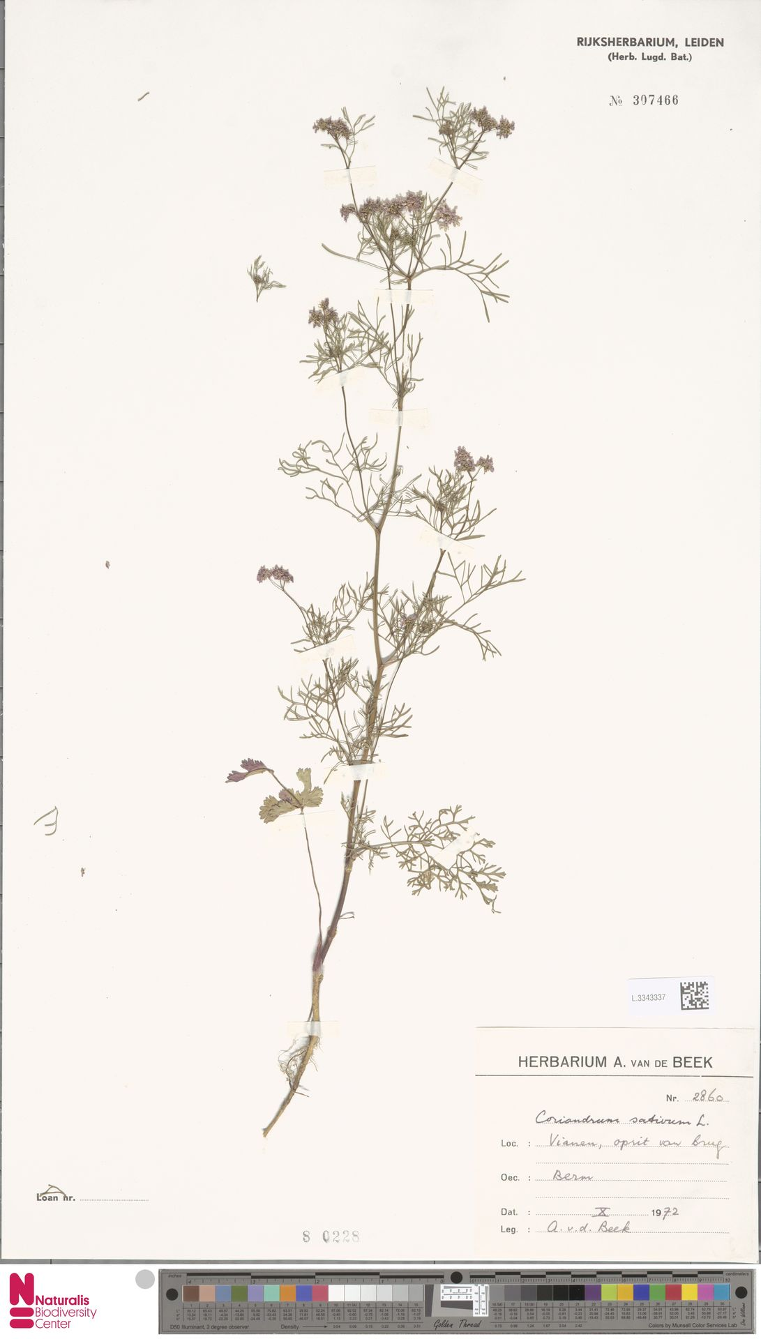 L.3343337 | Coriandrum sativum L.