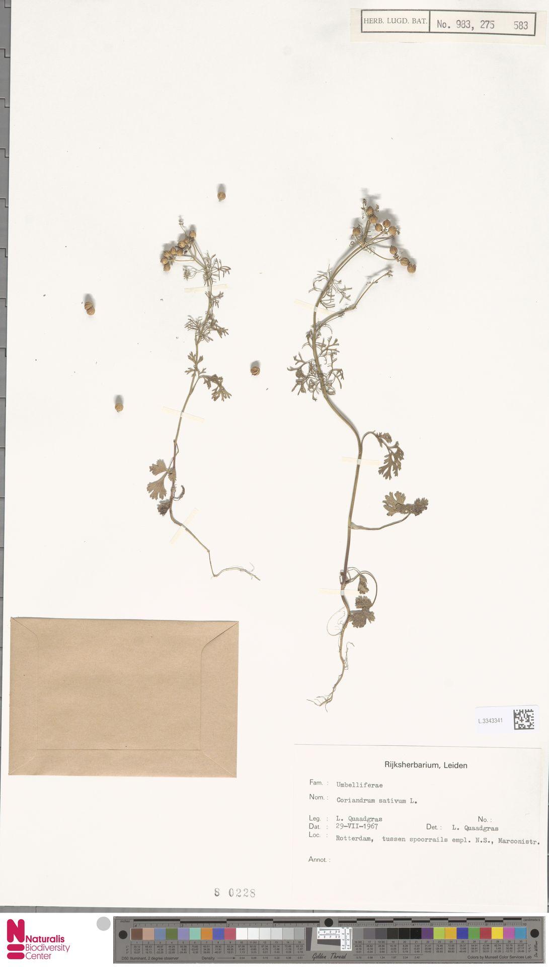 L.3343341 | Coriandrum sativum L.
