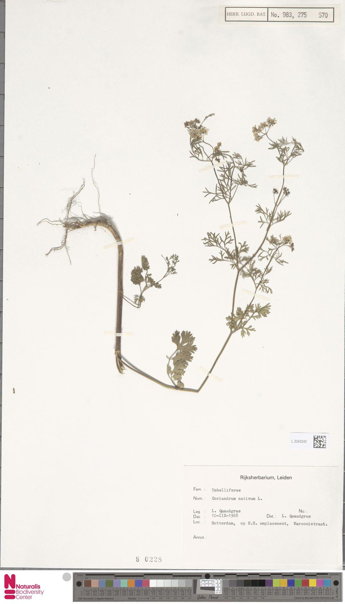 L.3343342 | Coriandrum sativum L.