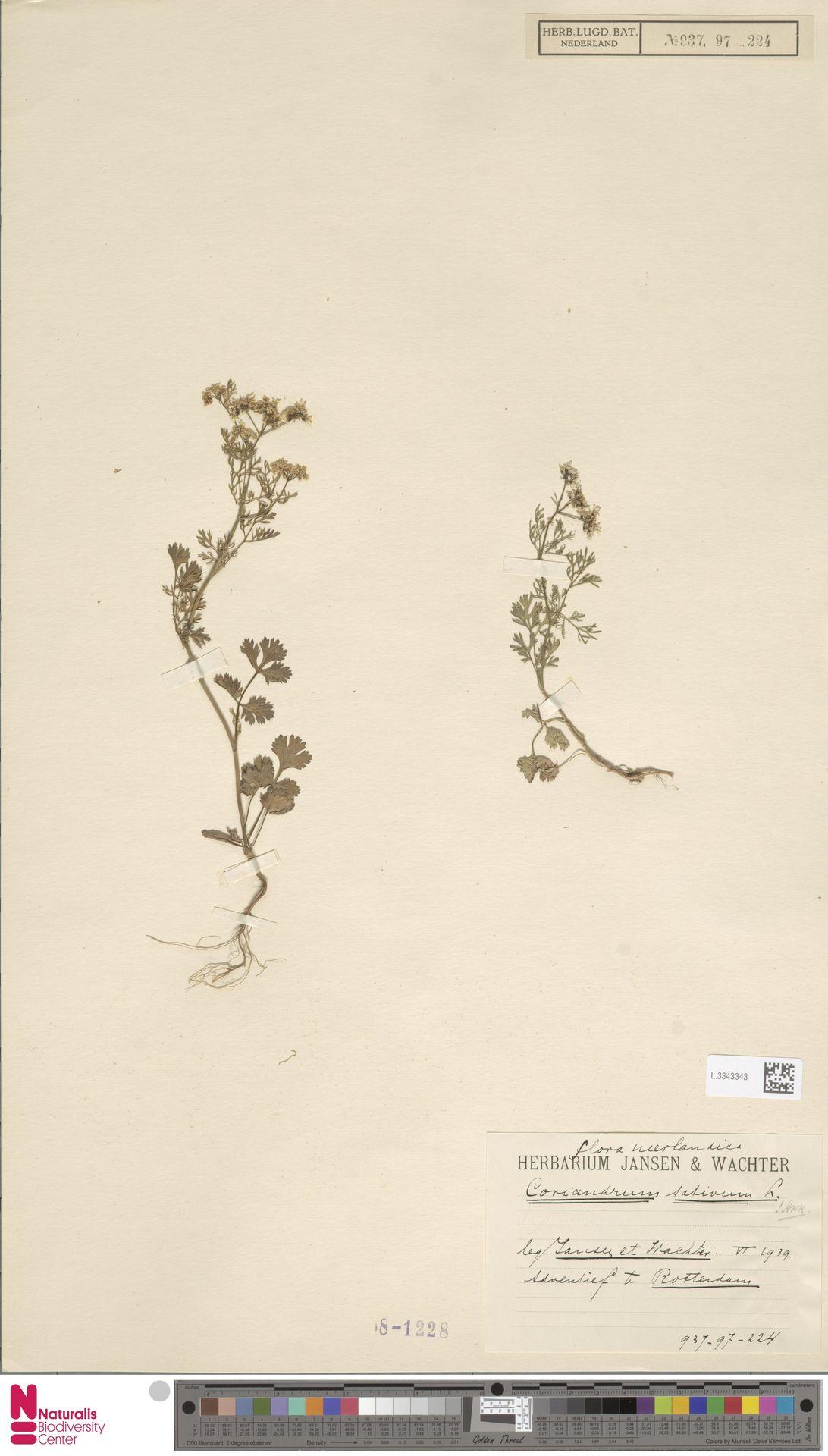L.3343343 | Coriandrum sativum L.