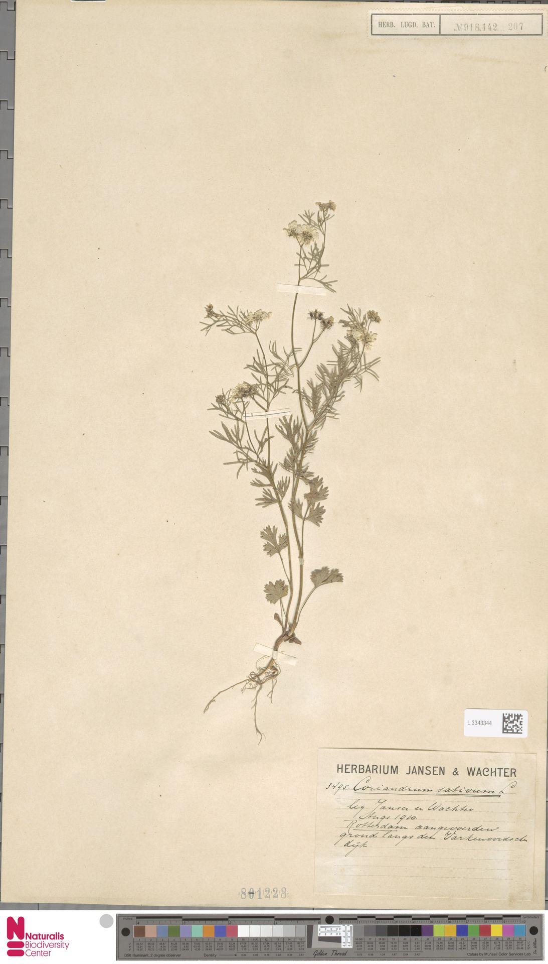 L.3343344 | Coriandrum sativum L.