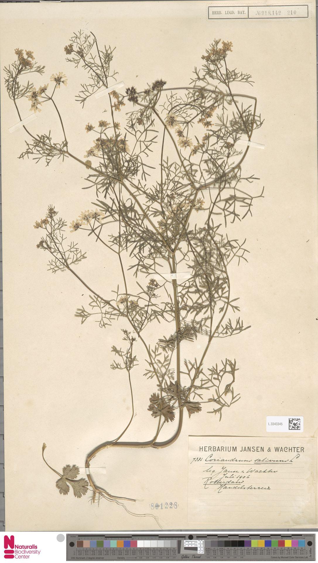 L.3343345 | Coriandrum sativum L.