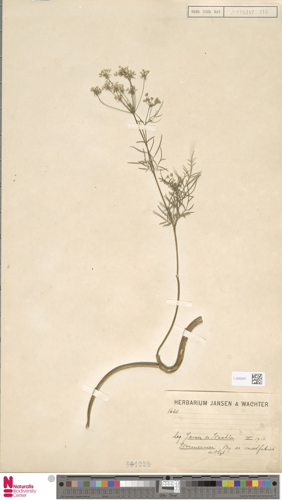 L.3343347 | Coriandrum sativum L.
