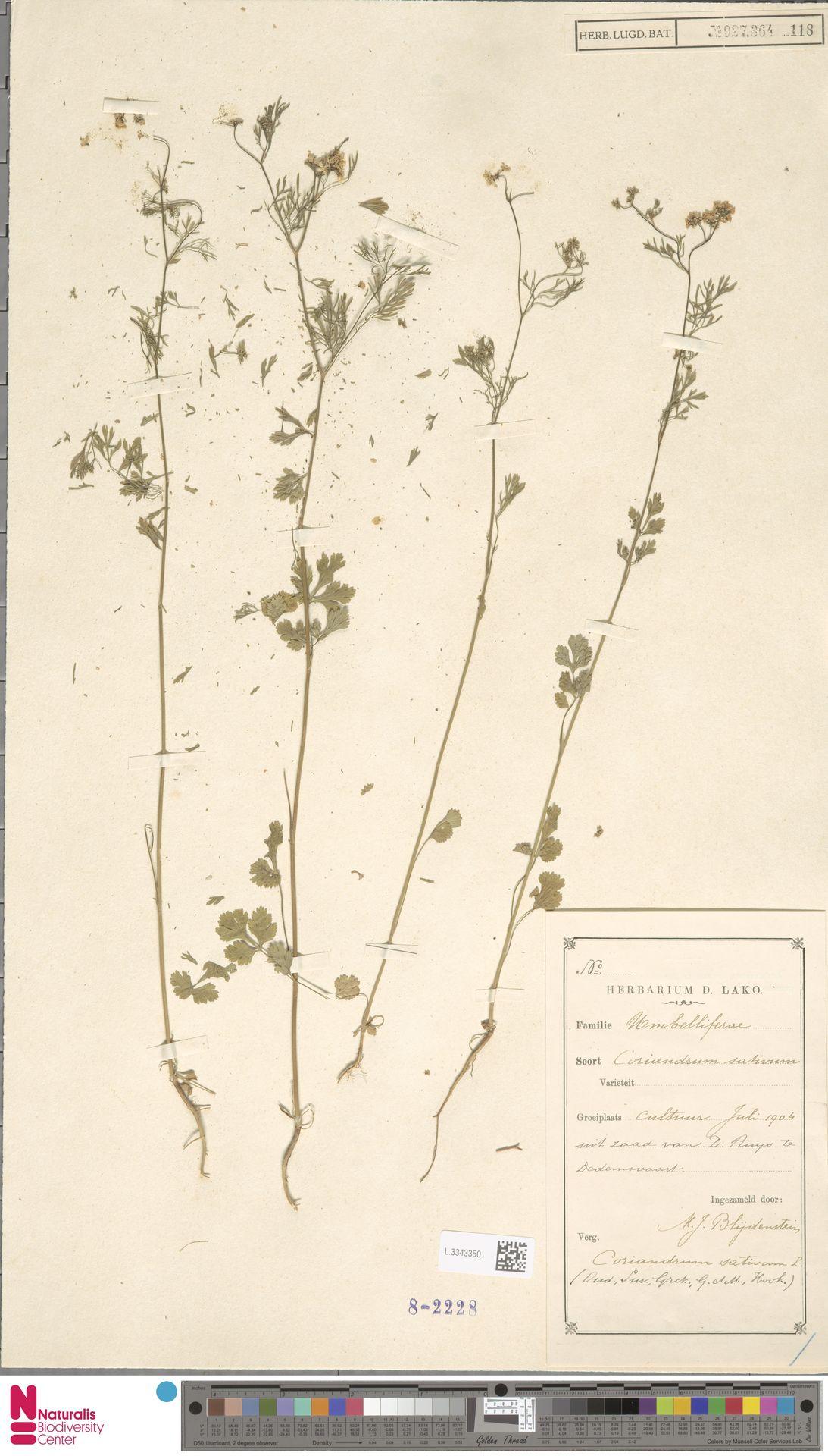 L.3343350   Coriandrum sativum L.