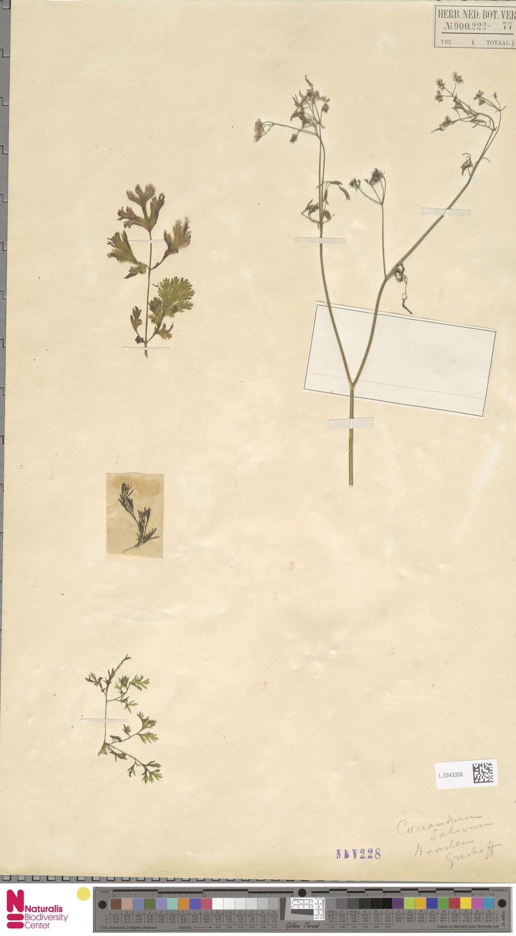 L.3343358 | Coriandrum sativum L.
