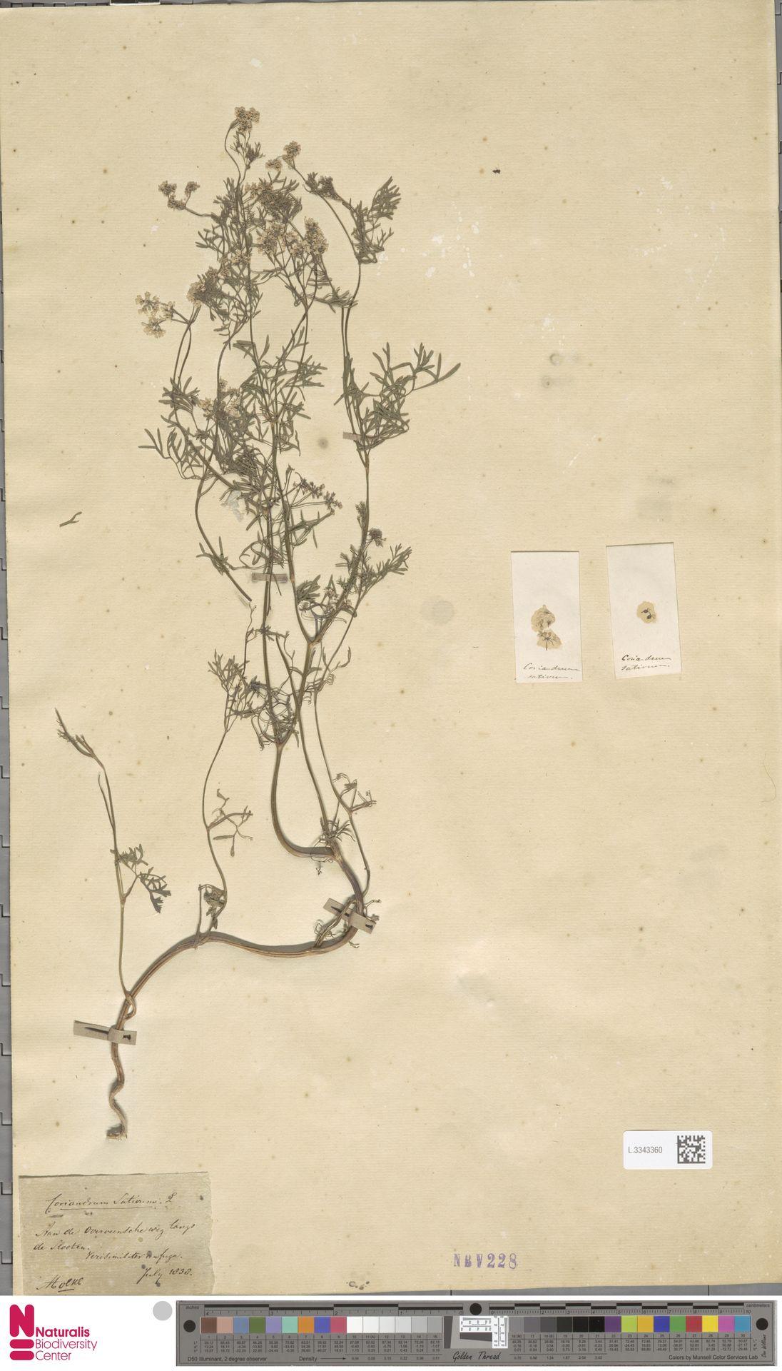 L.3343360 | Coriandrum sativum L.