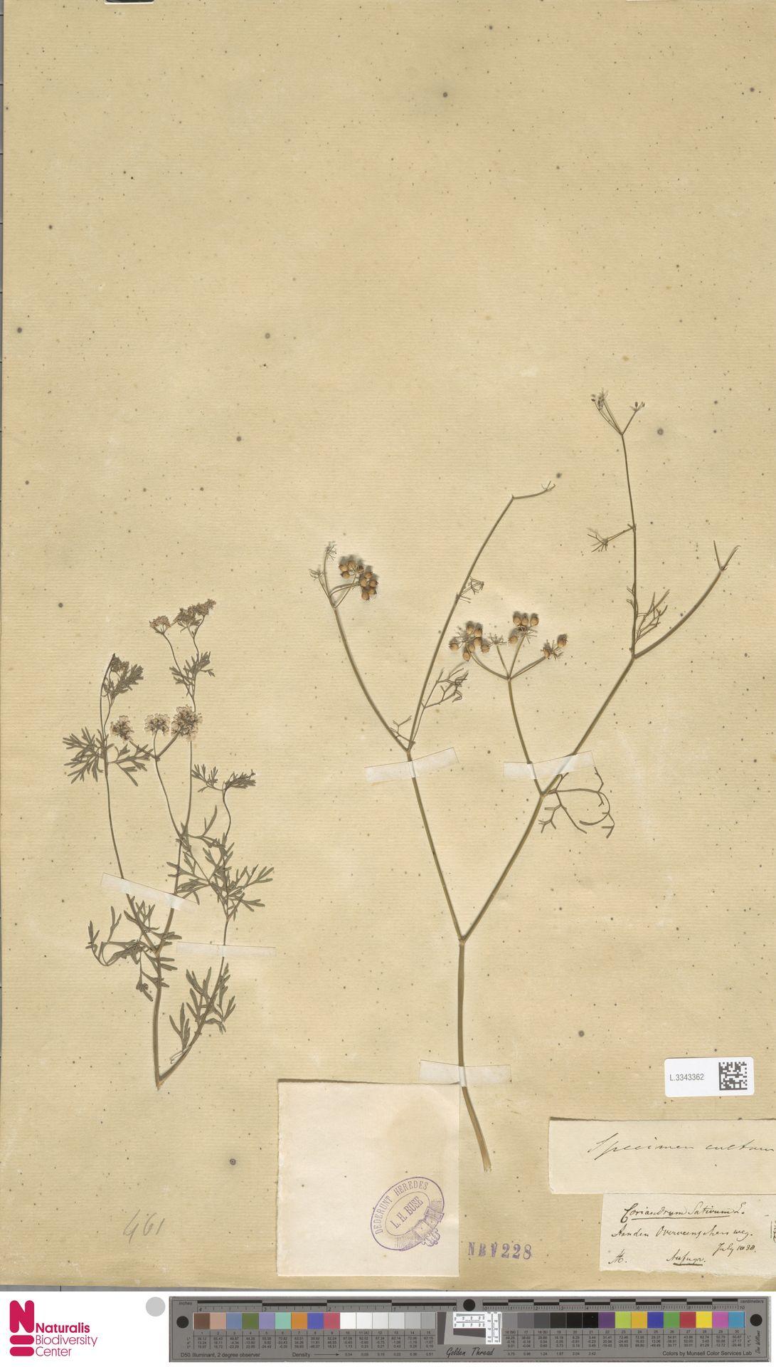 L.3343362 | Coriandrum sativum L.