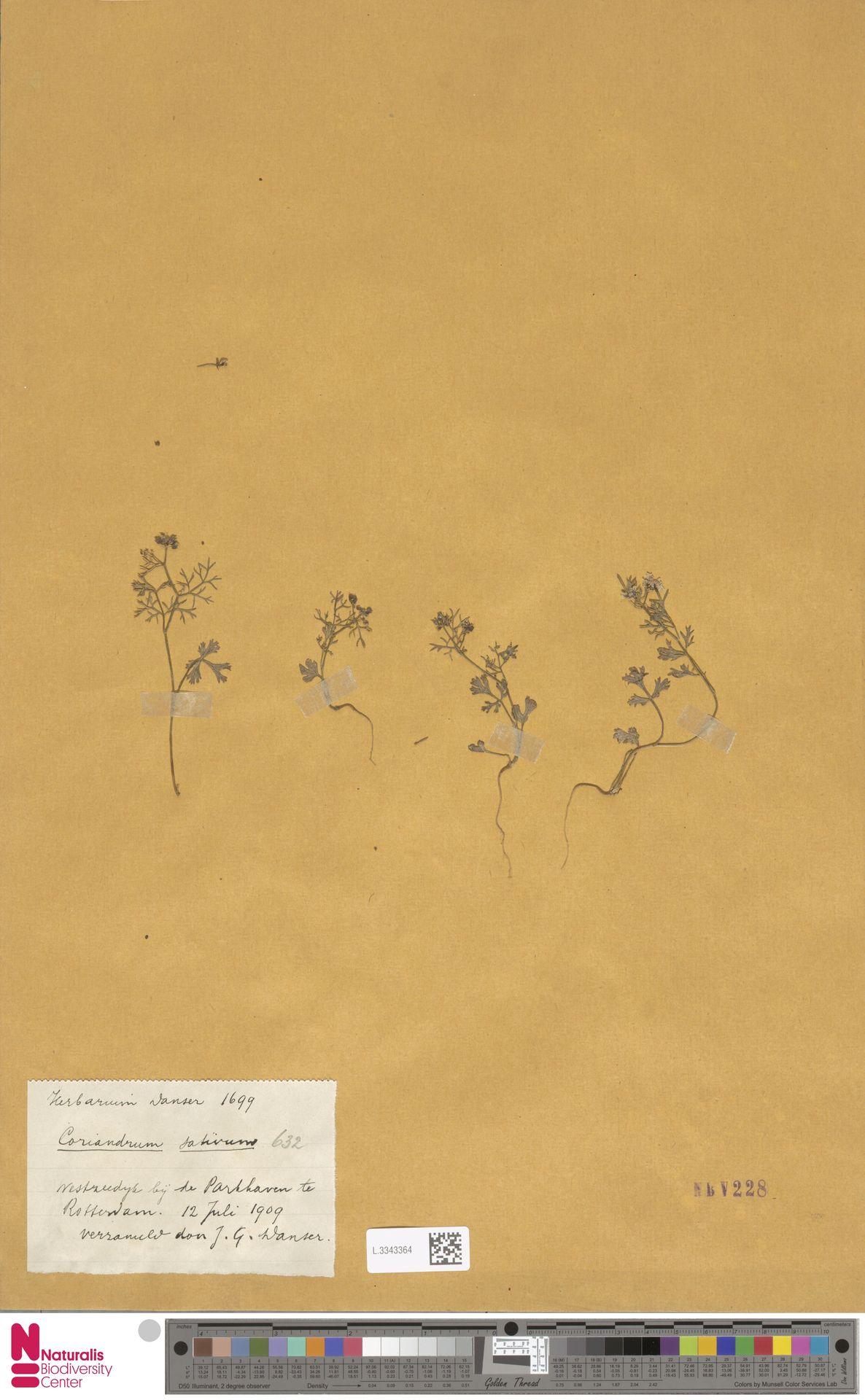 L.3343364 | Coriandrum sativum L.