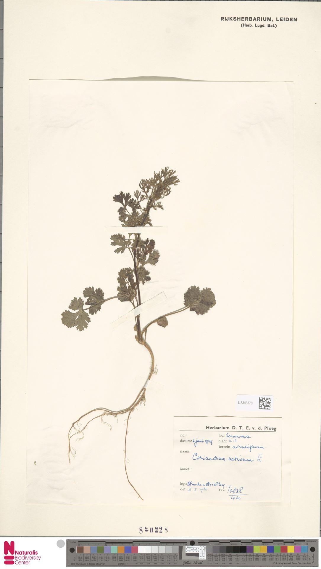 L.3343370 | Coriandrum sativum L.