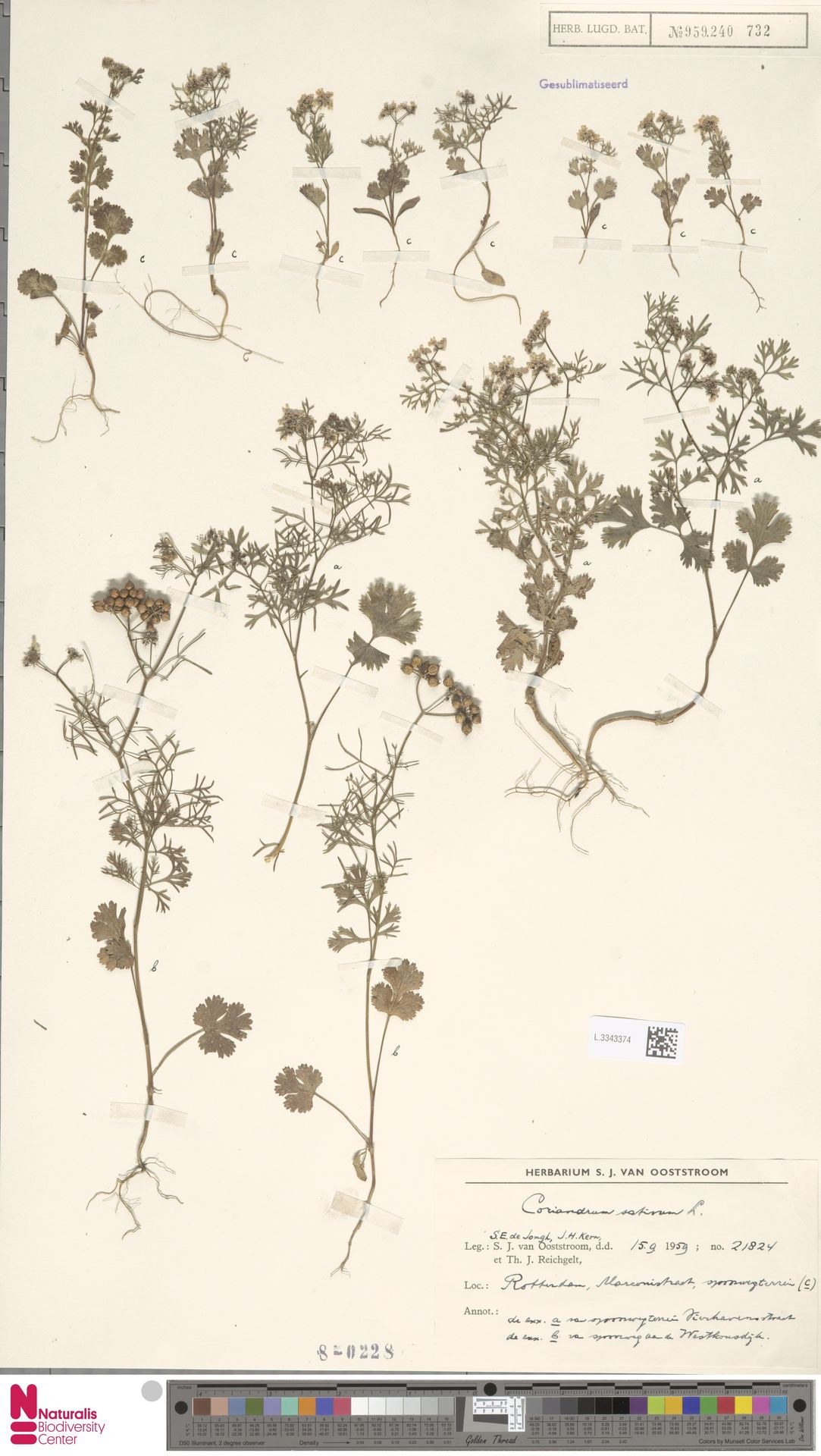 L.3343374 | Coriandrum sativum L.